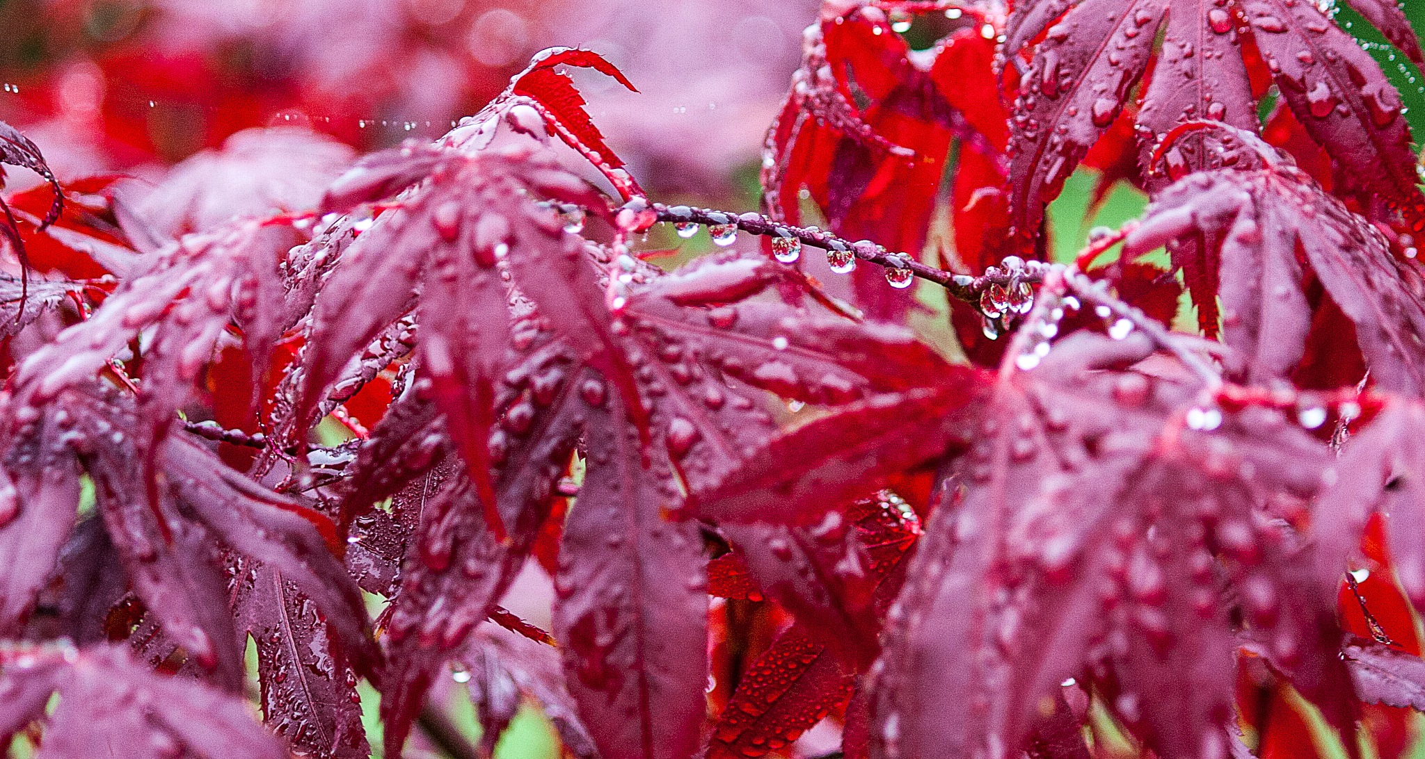 Acer in the Rain by martin.davis.5243817