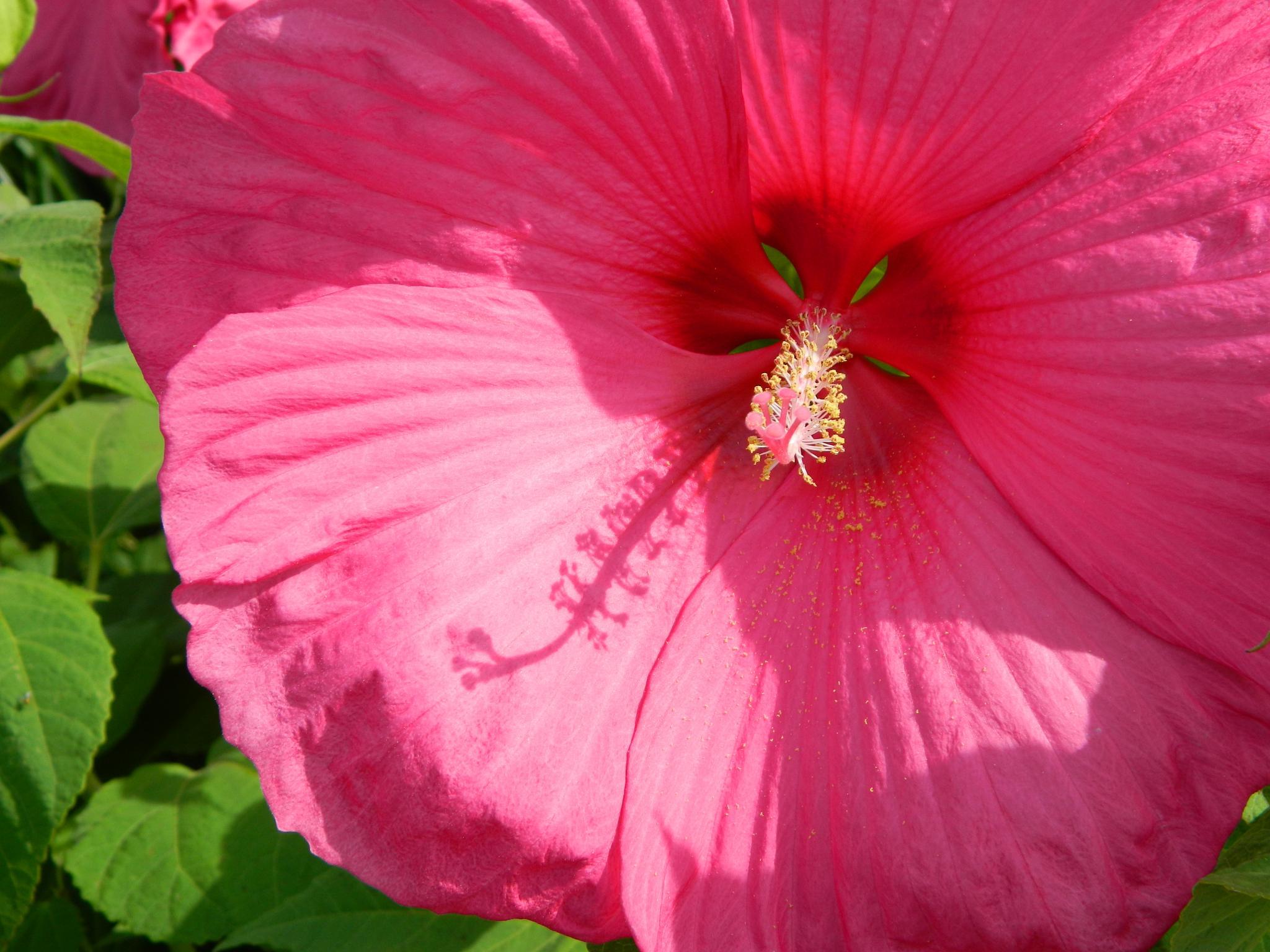 Hibiscus by janet renee'