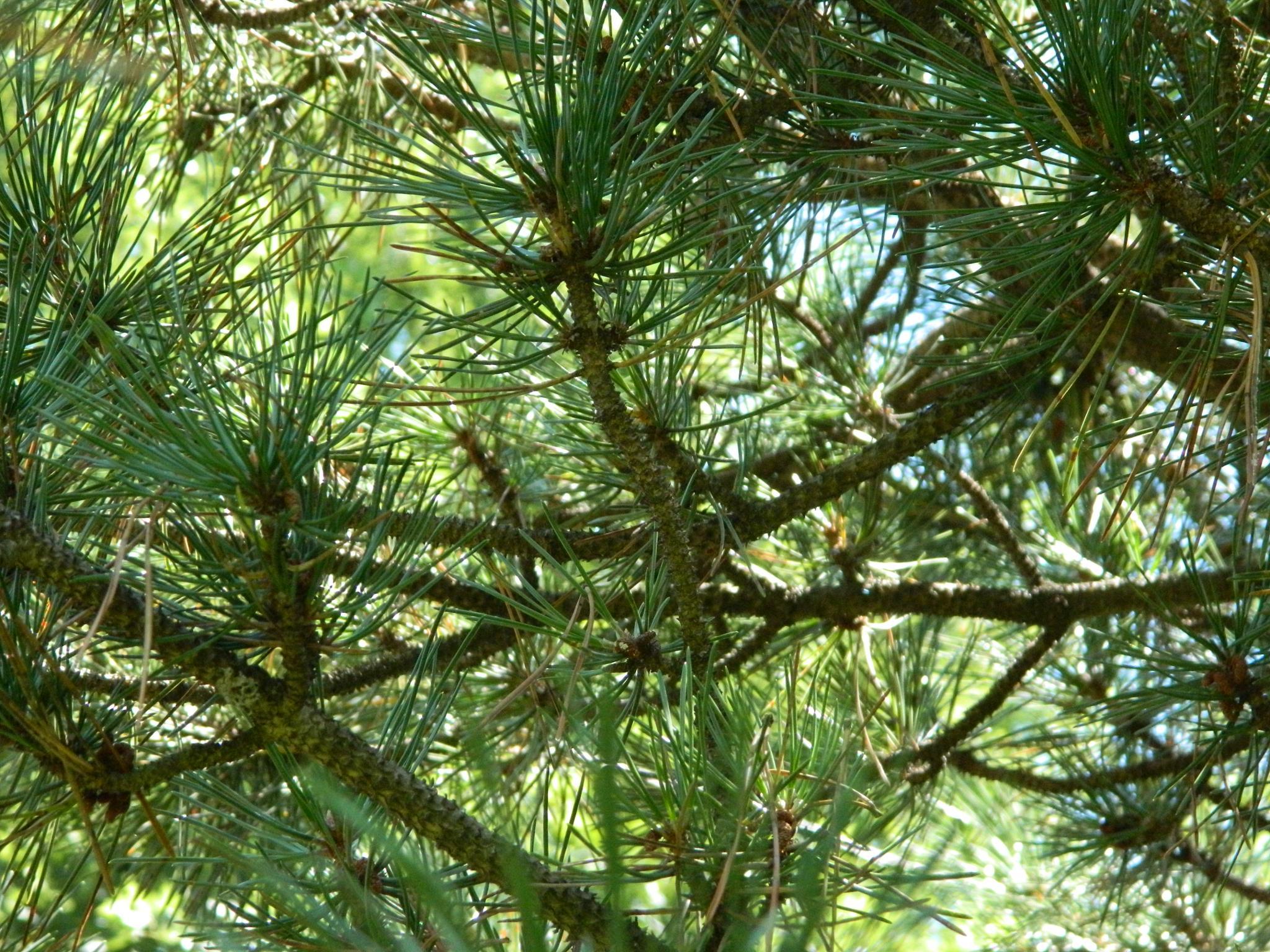 Pine by janet renee'