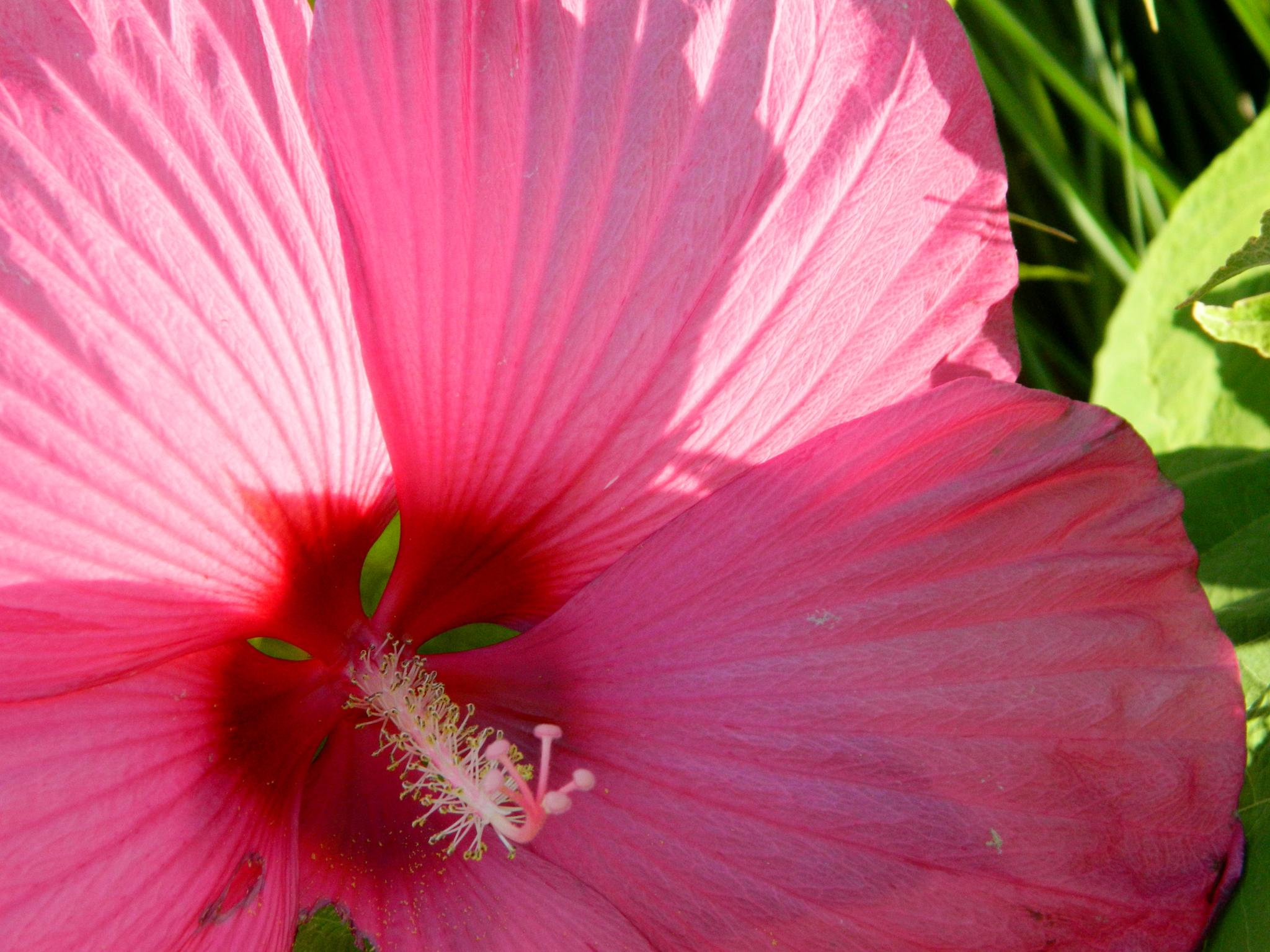 Dinnerplate Hibiscus? by janet renee'