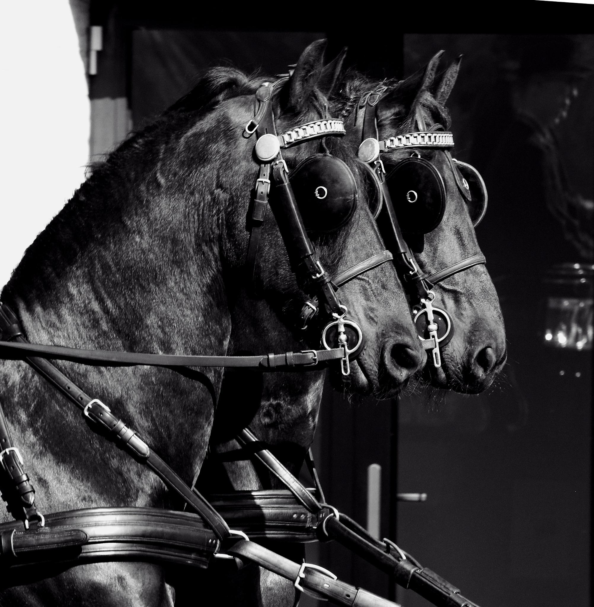 2 horses by marion.vanriet