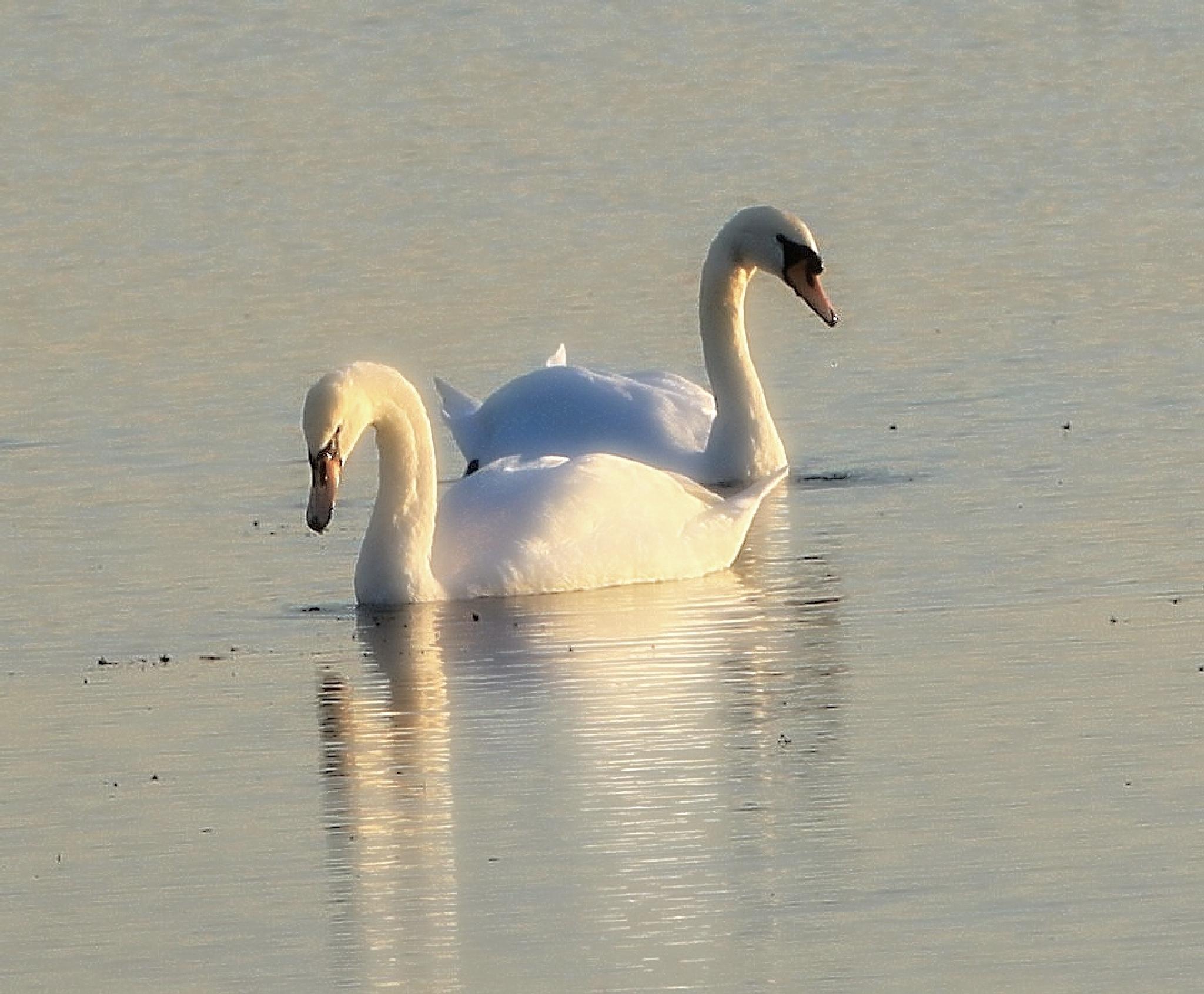 Swans by marion.vanriet
