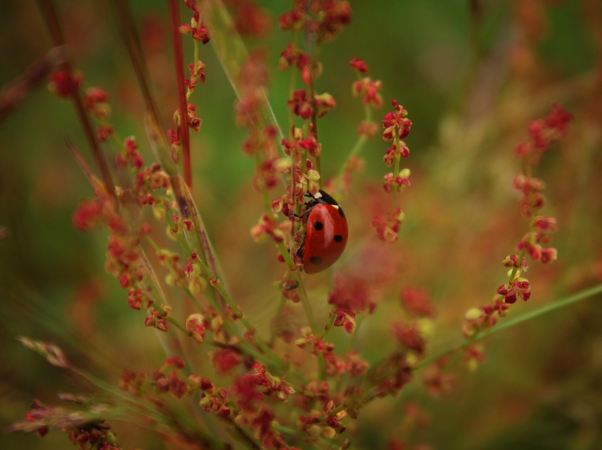 Lieveheersbeestje by marion.vanriet