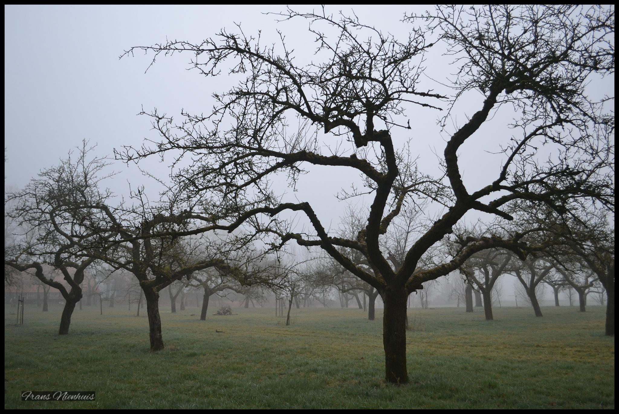 Apple trees in morning mist by Frans Nienhuis
