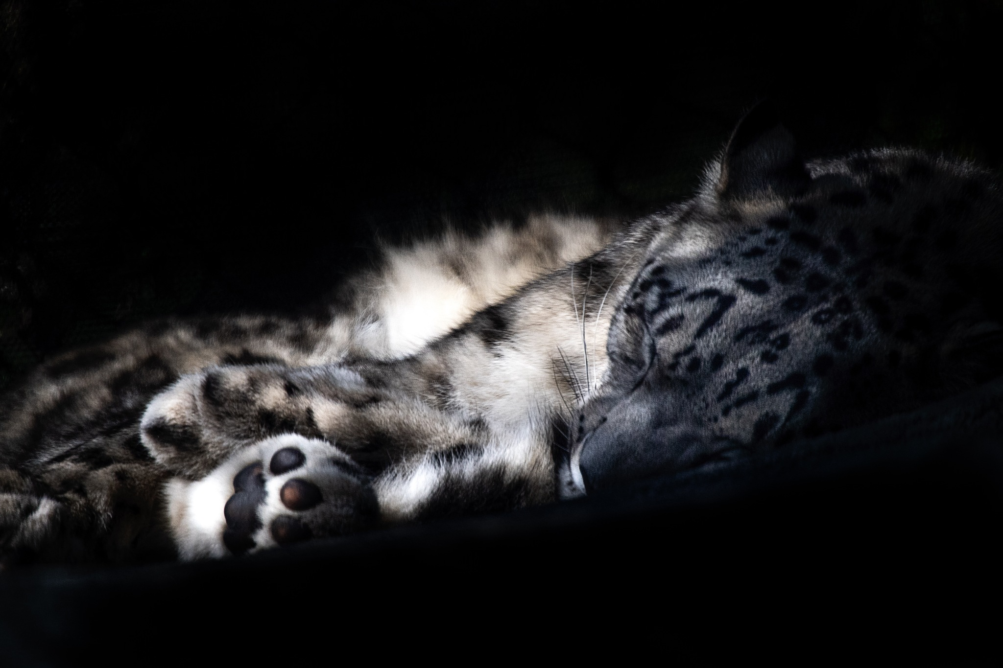 Photo in Animal #miska #snow leopard #big cats #zoo #endangered