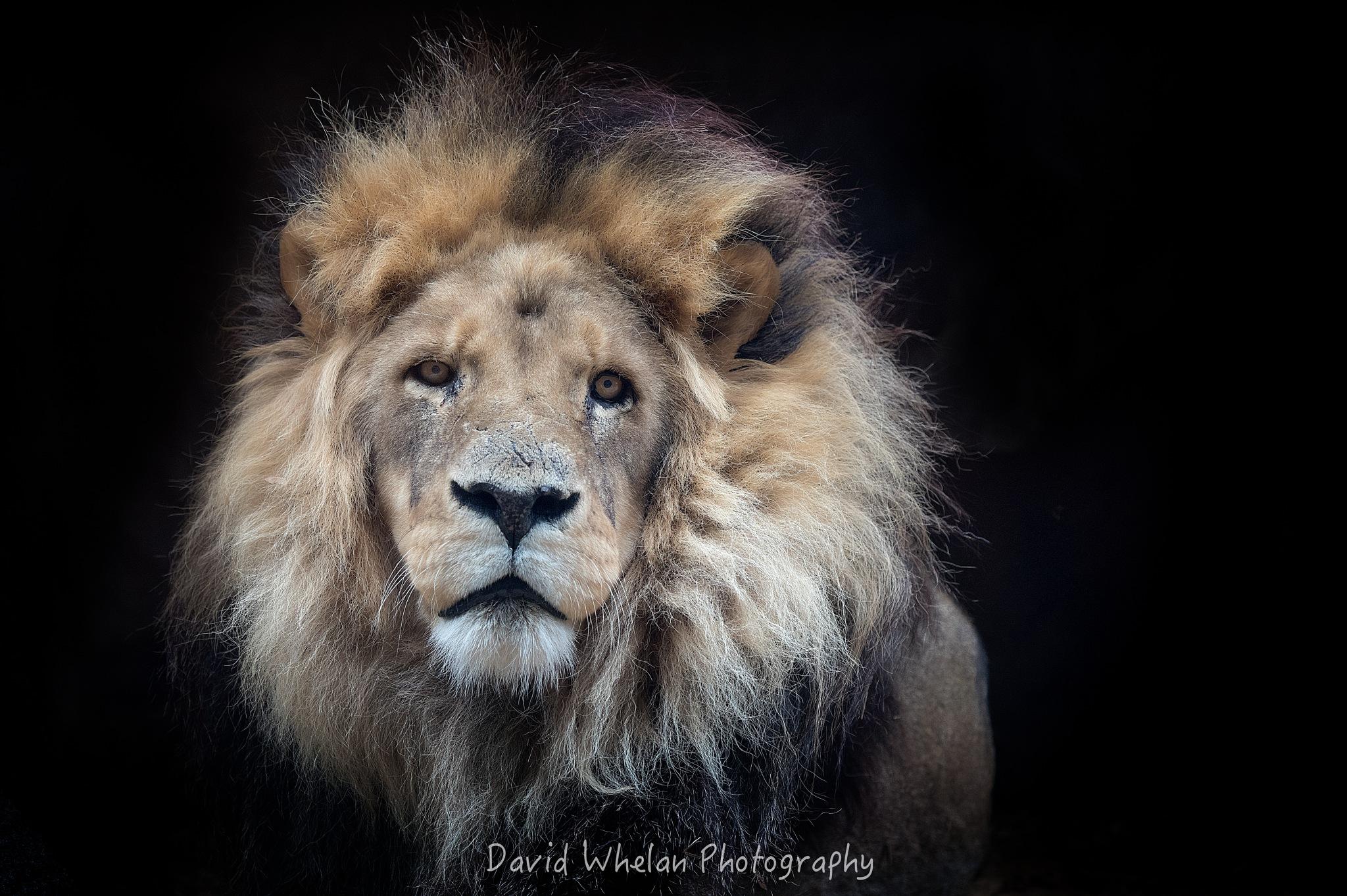 African Lion by David Whelan