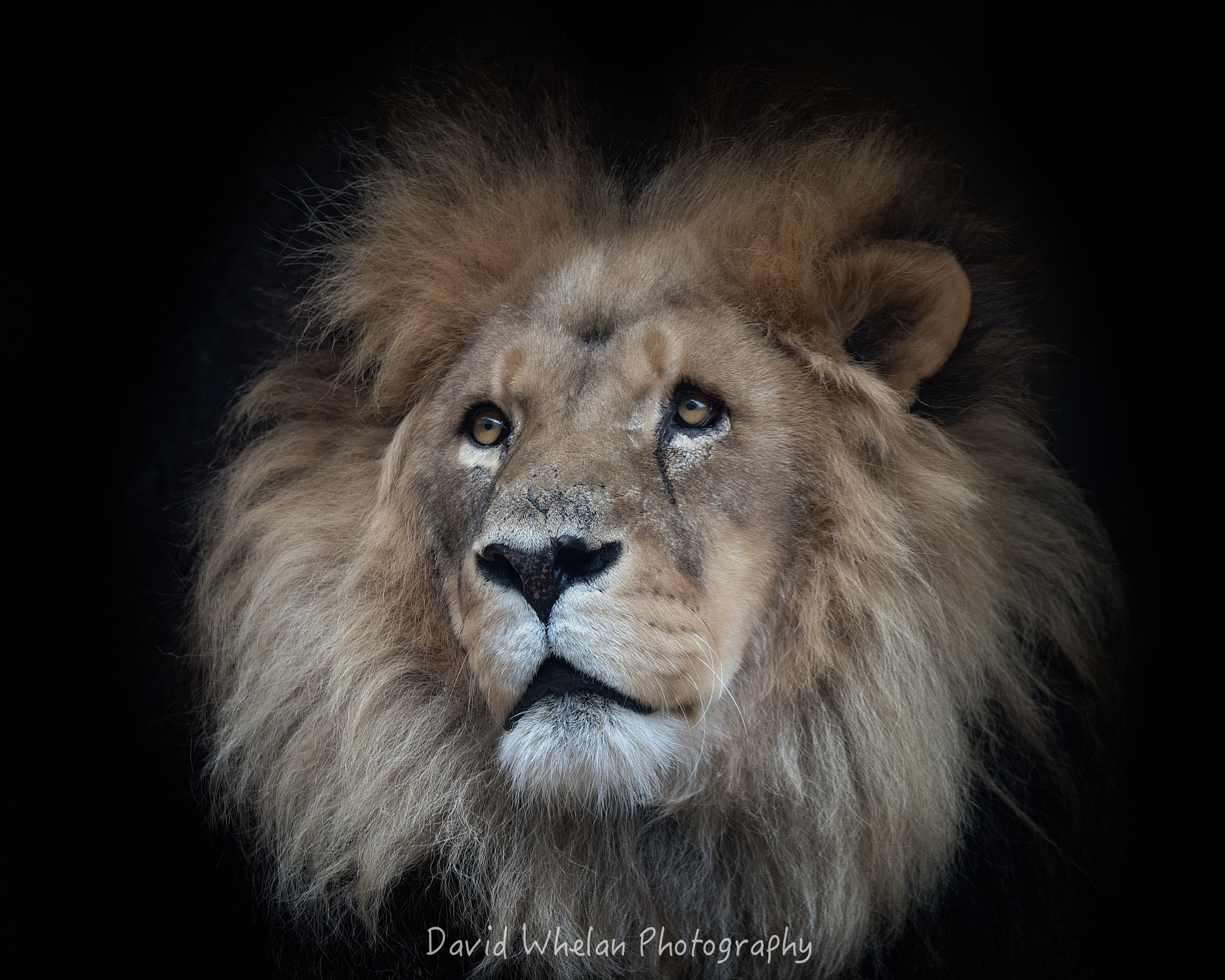 Photo in Animal #lion #african lion #endangered #zoo #melbourne zoo