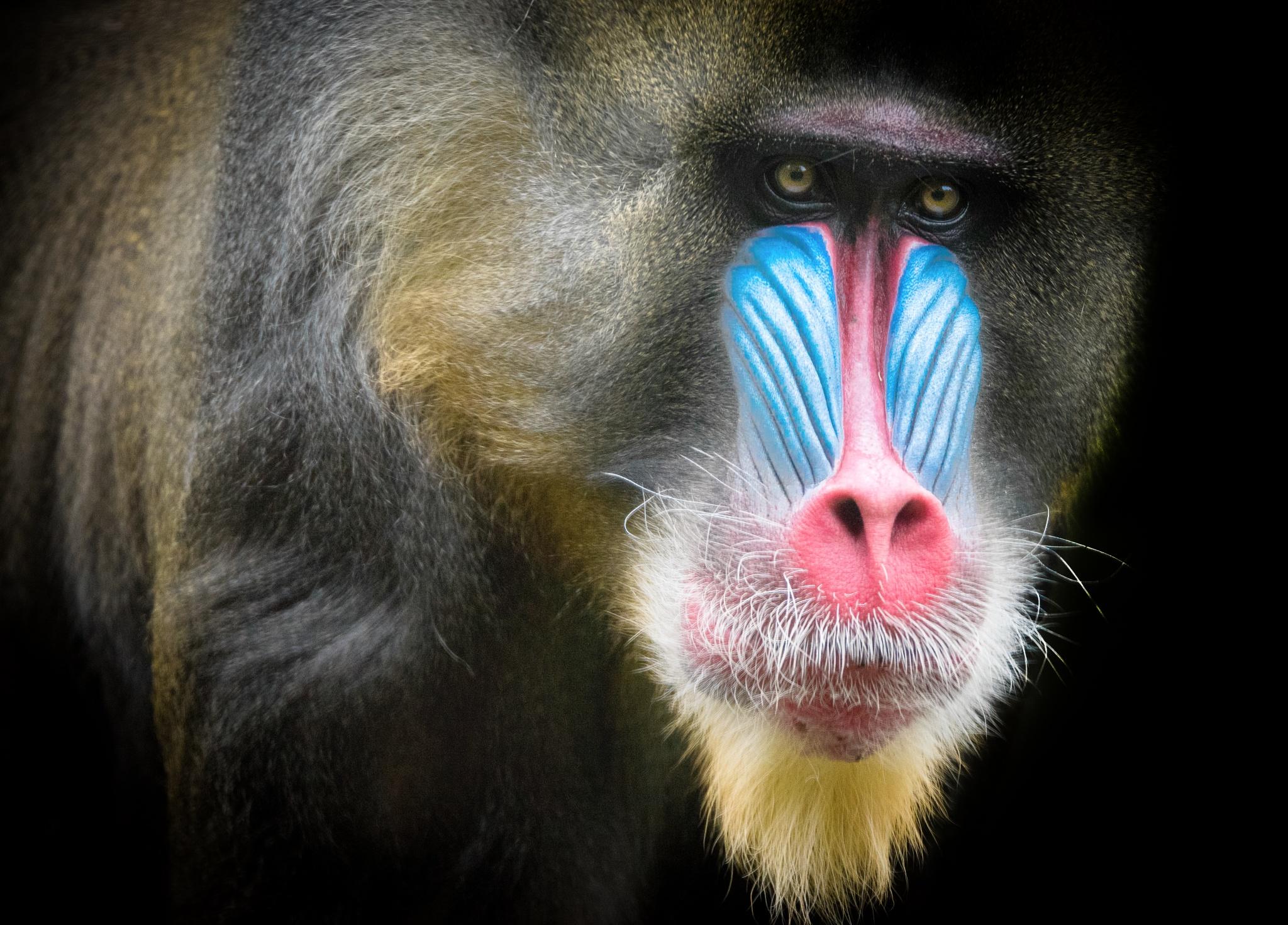 Photo in Animal #mandril #zoo