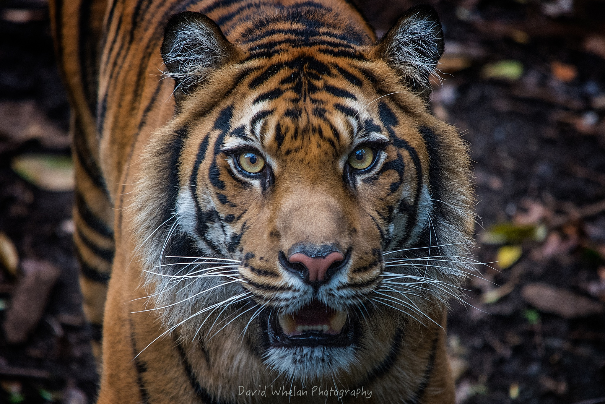 Sumatran tiger by David Whelan