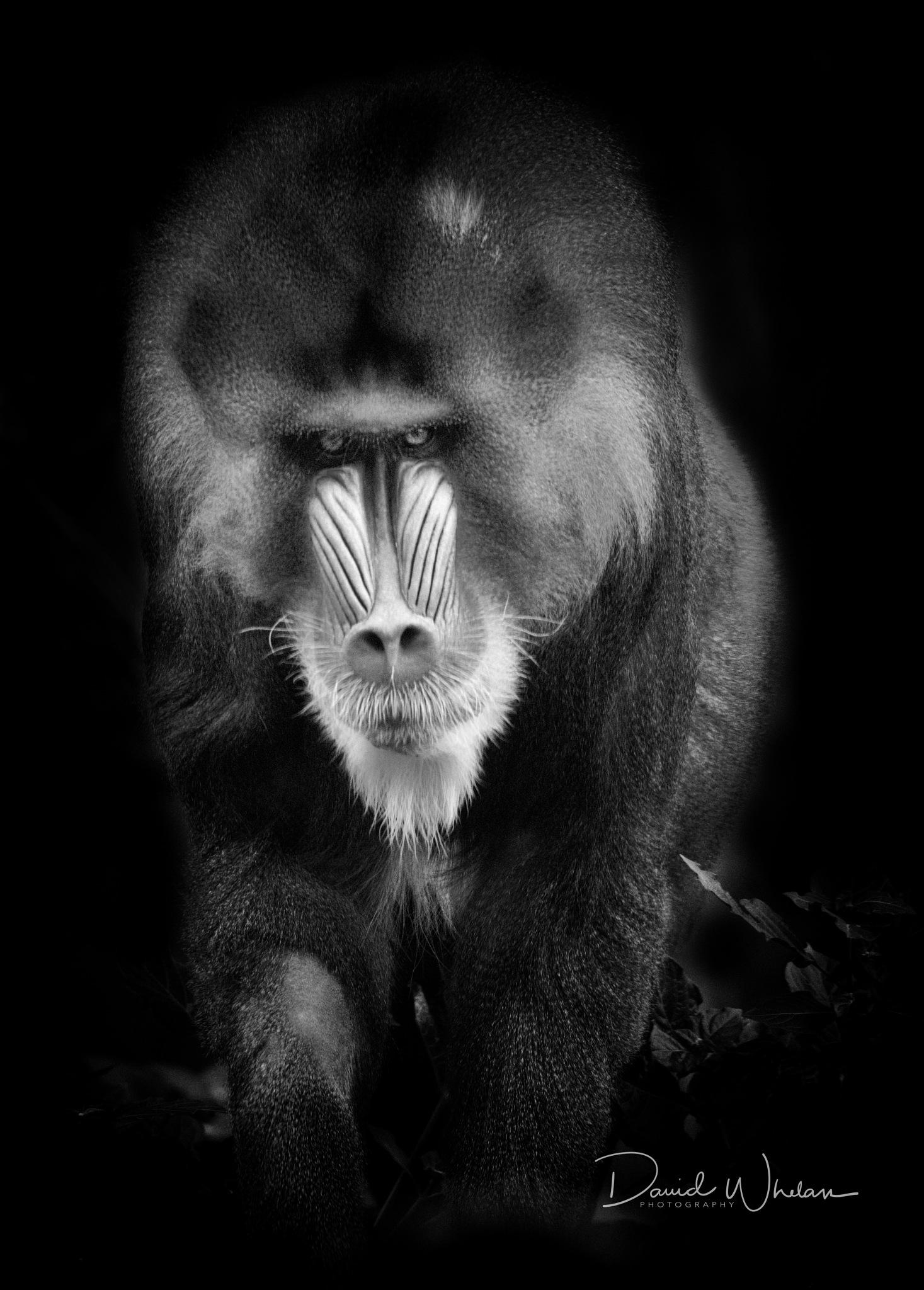 Mandril by David Whelan