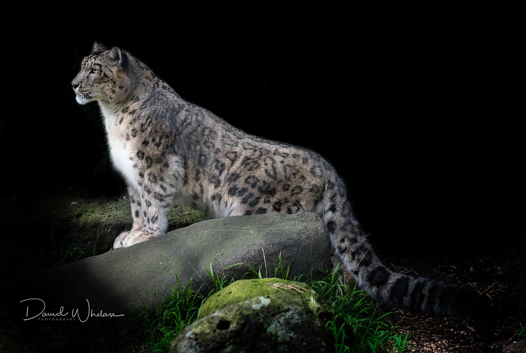 Snow Leopard by David Whelan