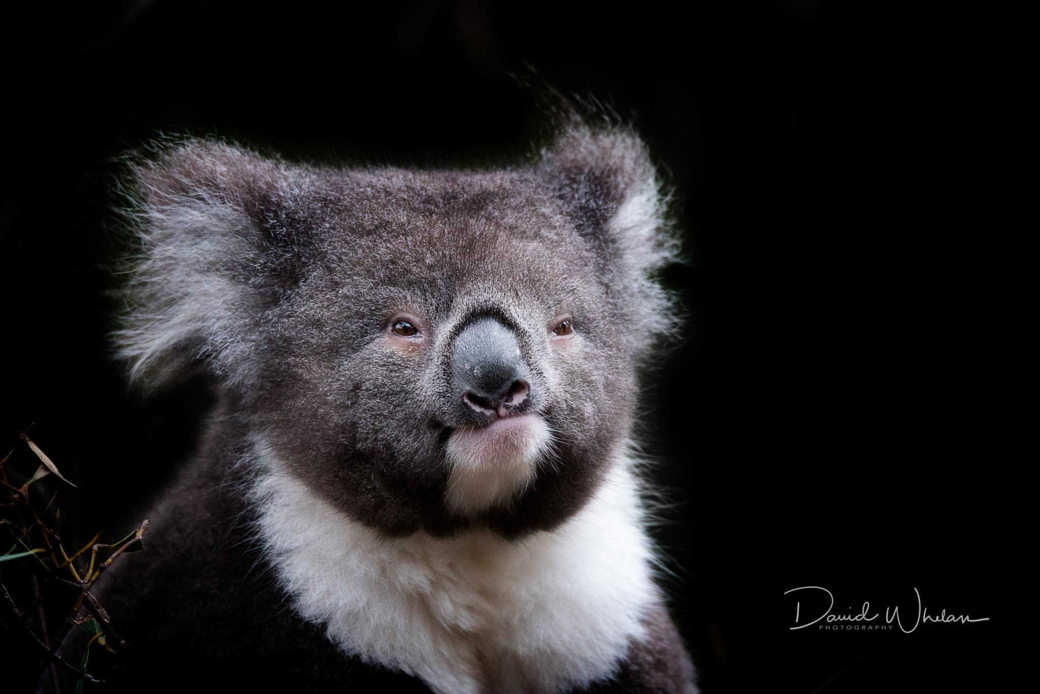 Koala by David Whelan