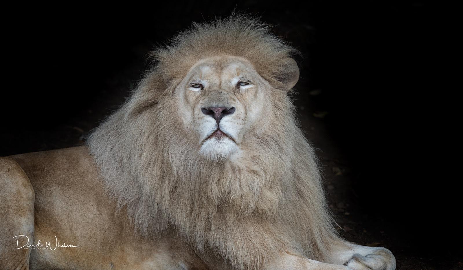 White lion by David Whelan