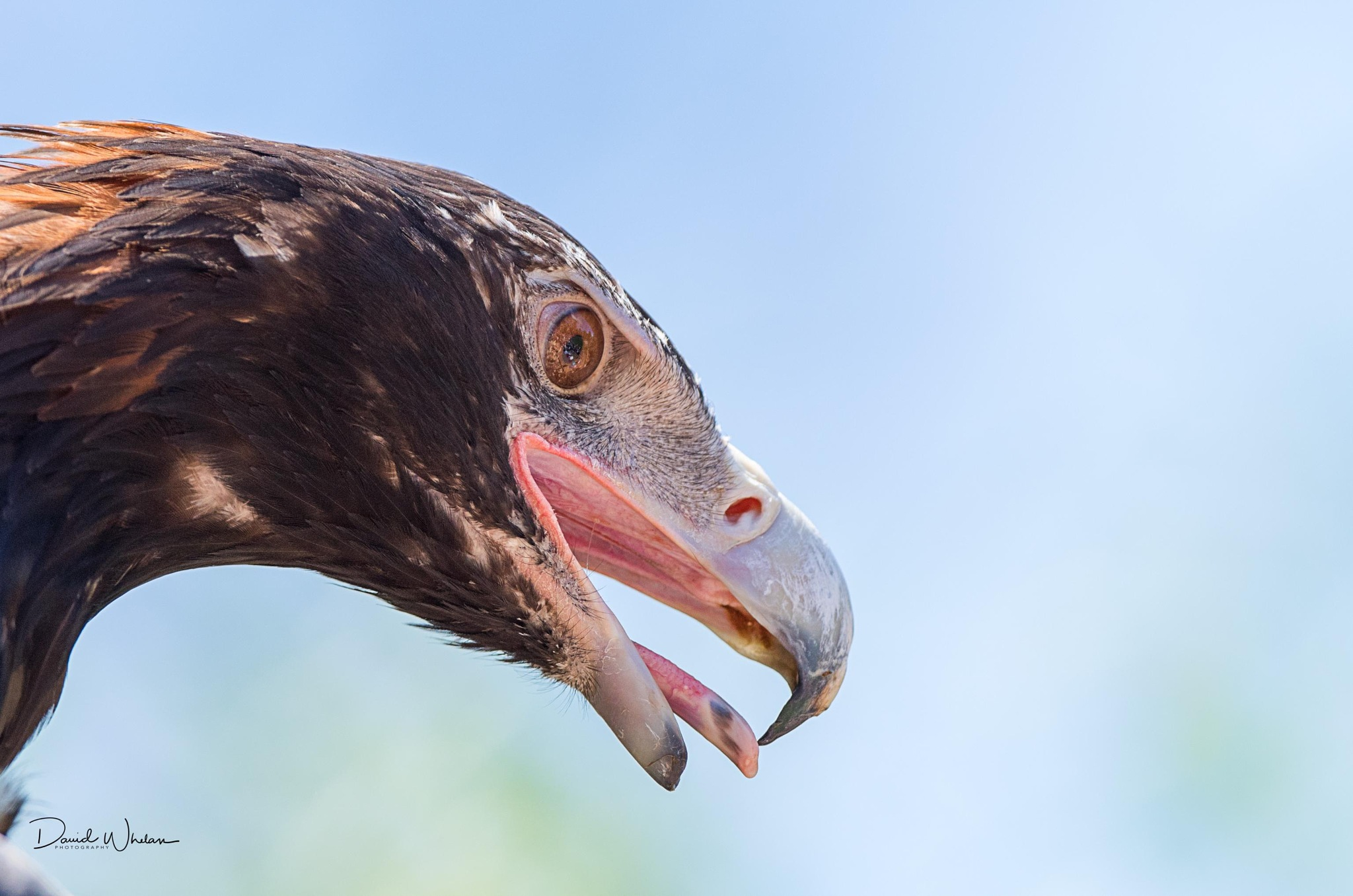 Wedge-tailed eagle by David Whelan