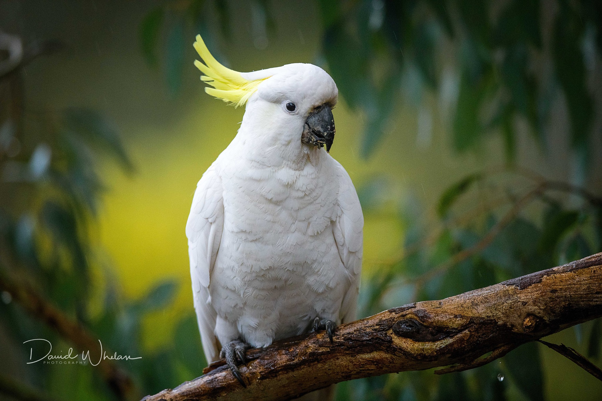 Sulphur-crested cockatoo by David Whelan