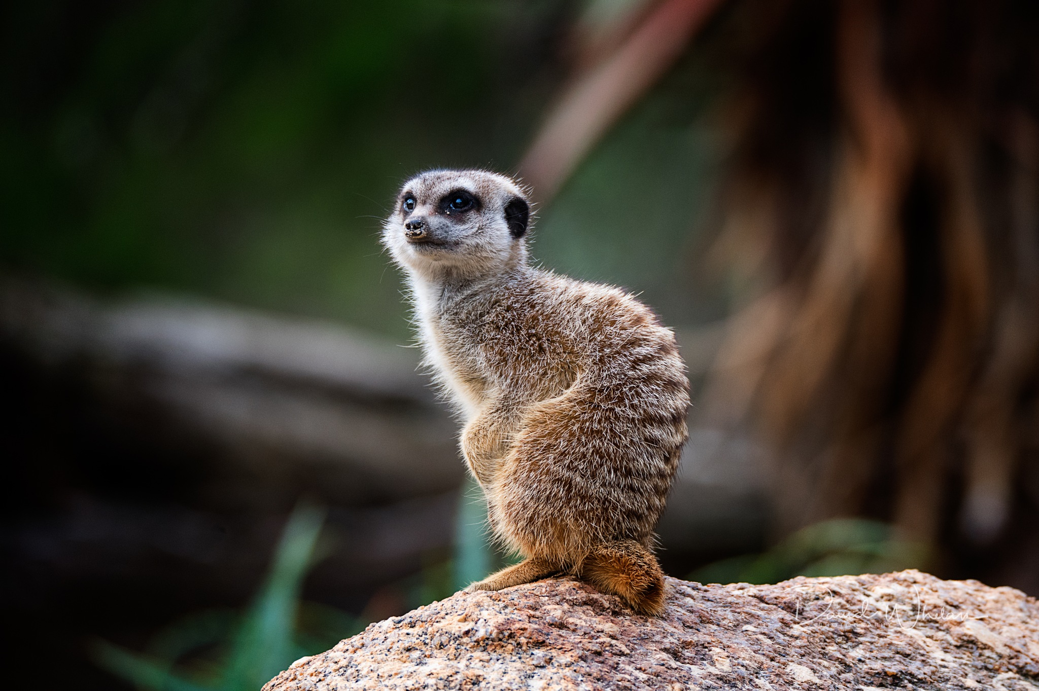 Baby Meerkat by David Whelan
