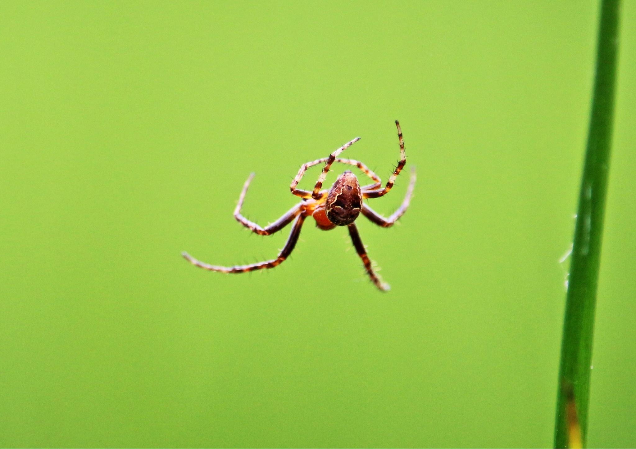 Flying spider, rietkruisspin by Evie Tinnevelt