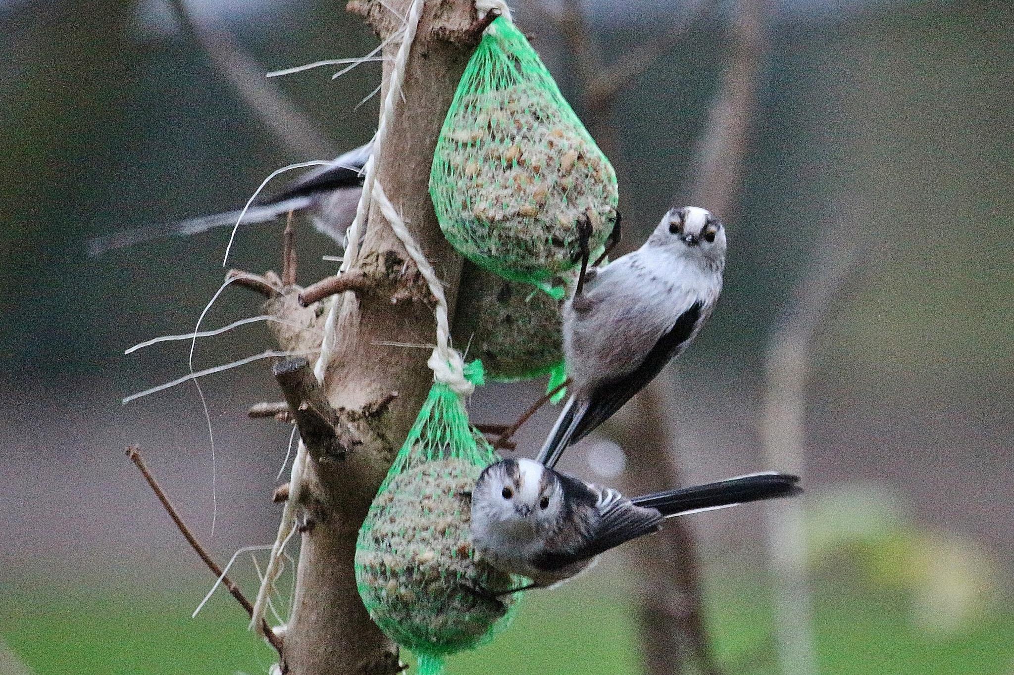 staartmeesjes in mij tuin by Evie Tinnevelt