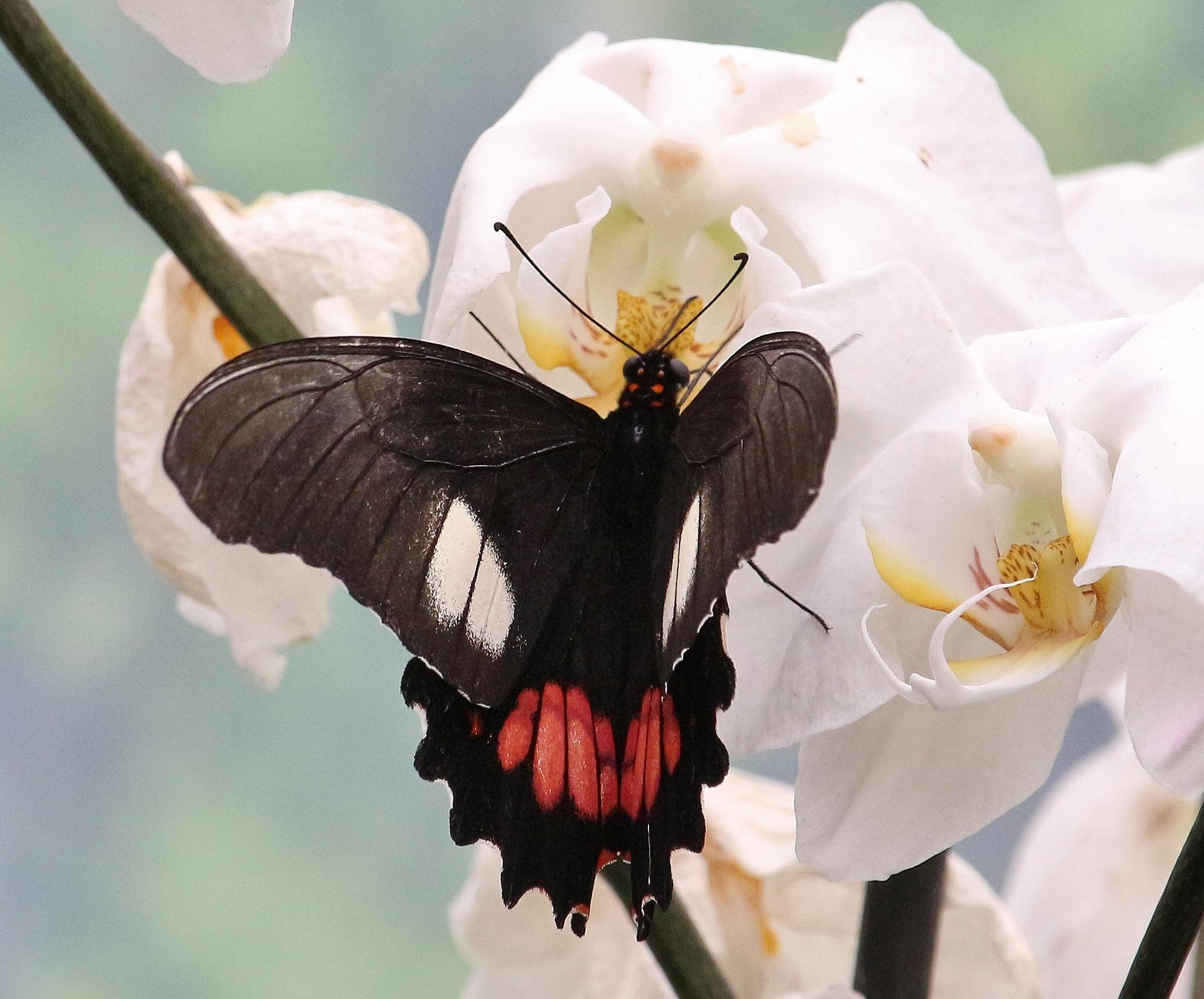vlinder by Evie Tinnevelt