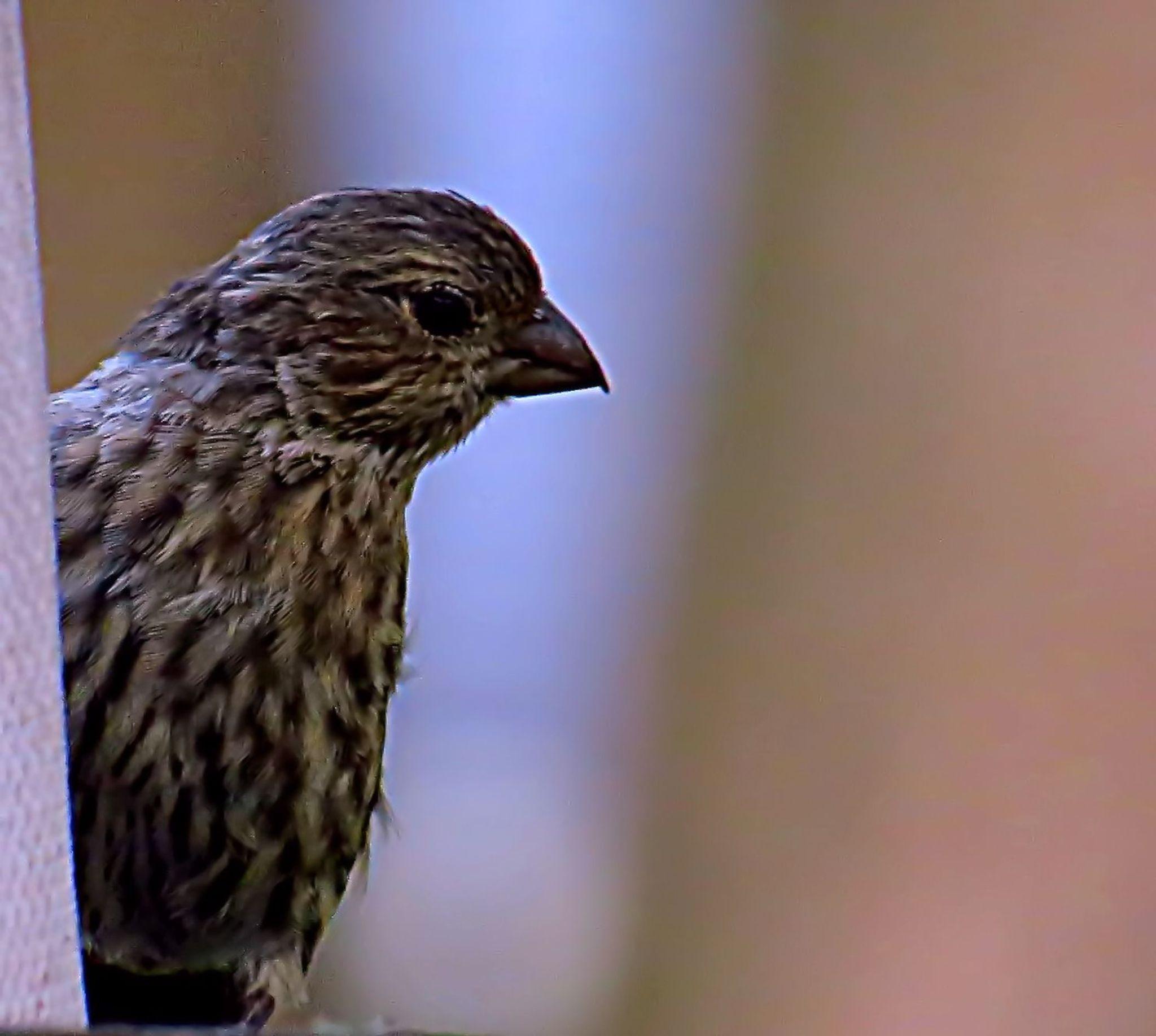Female Finch by pennieawhite