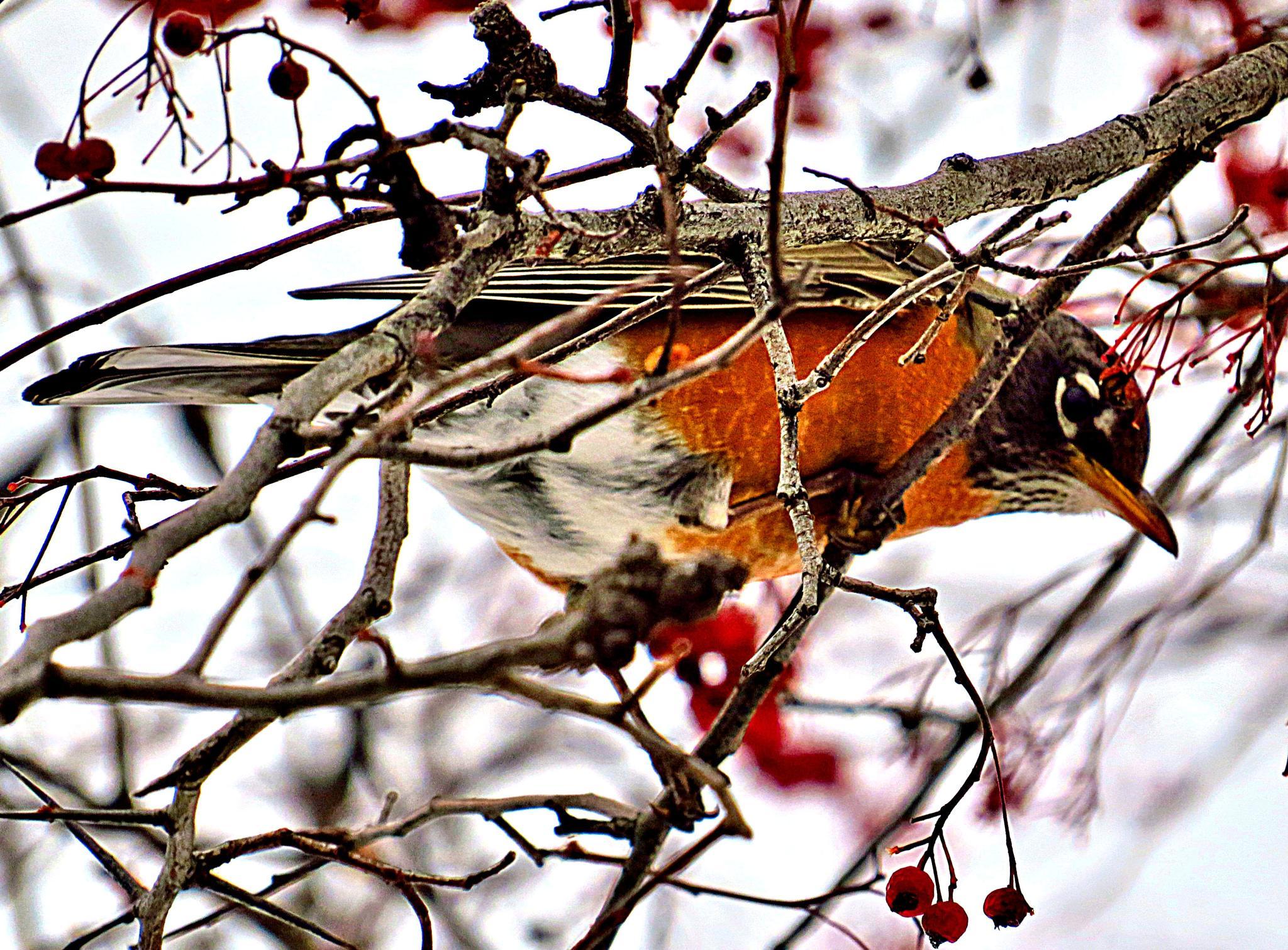 American Robin by pennieawhite