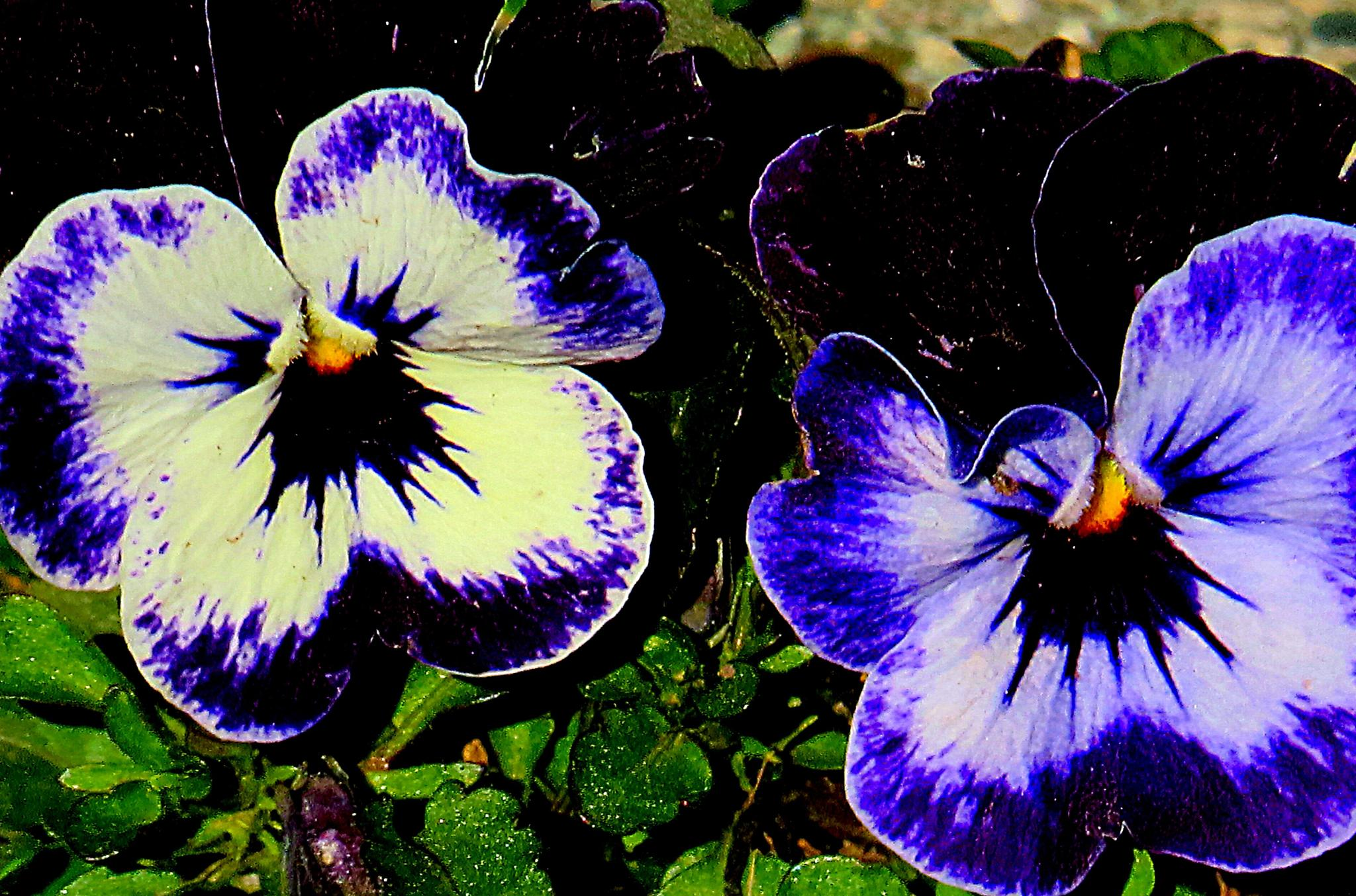 Tiny pansies by pennieawhite