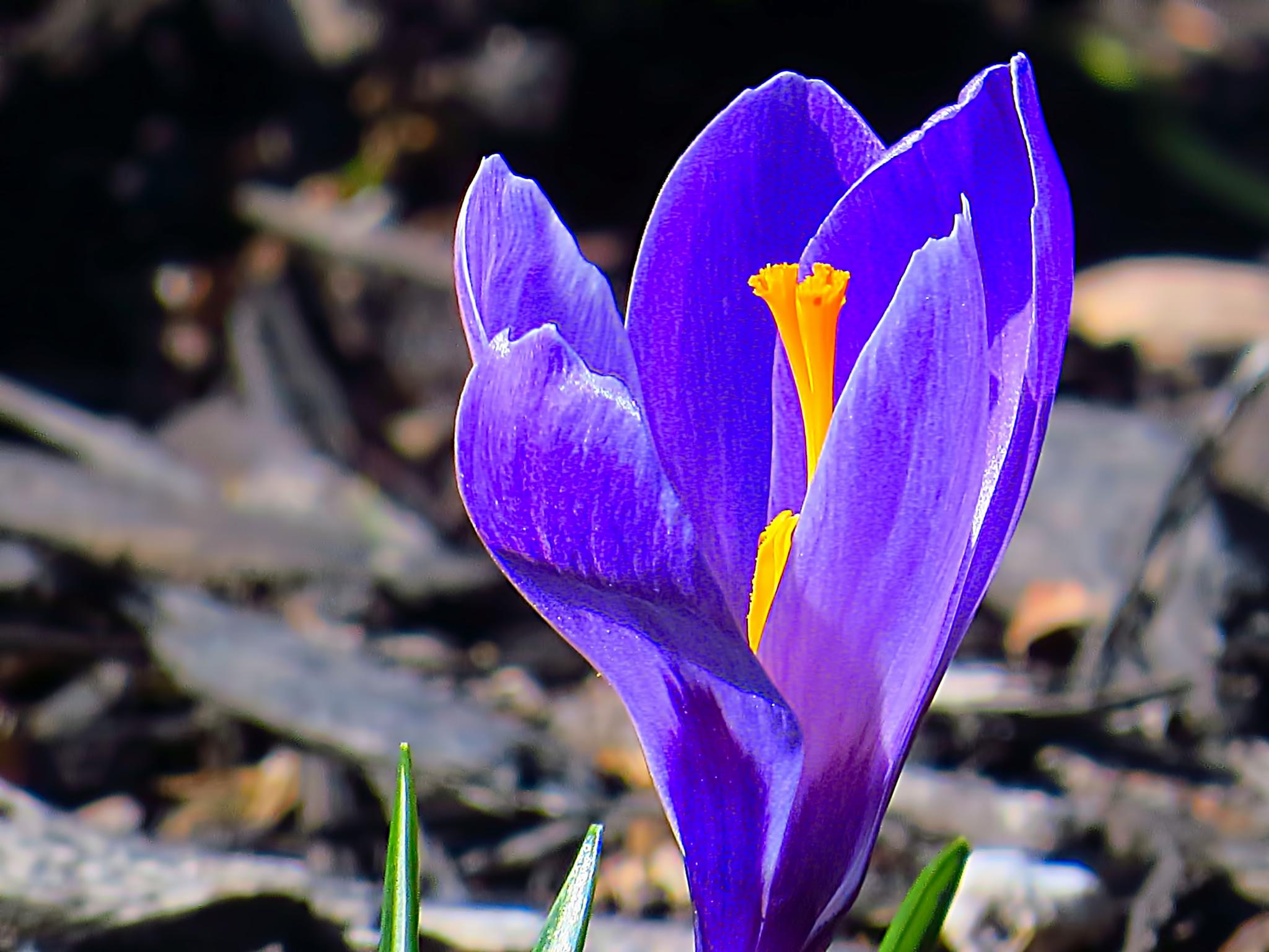 Purple crocus by pennieawhite