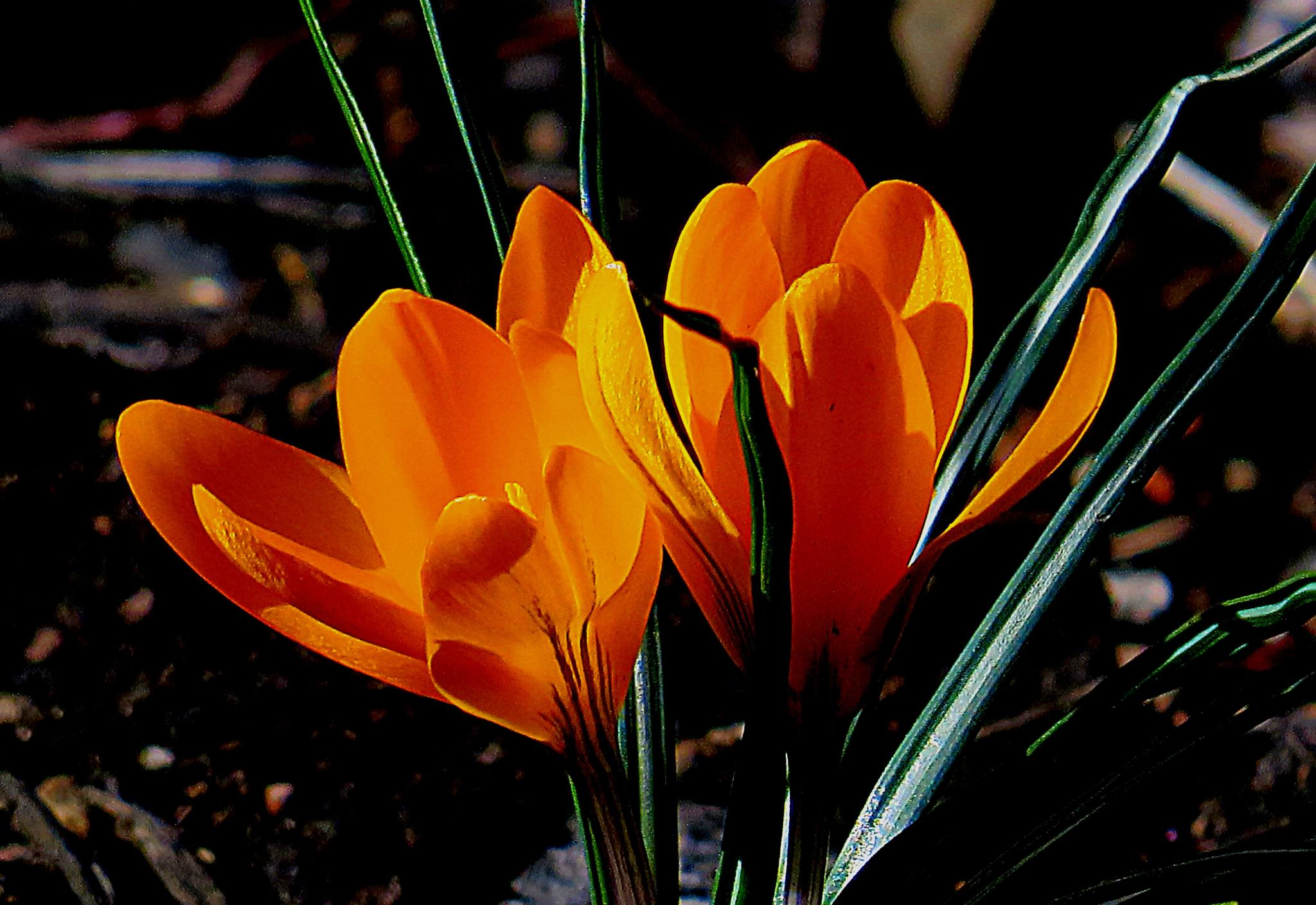 Brilliant crocus blossoms by pennieawhite