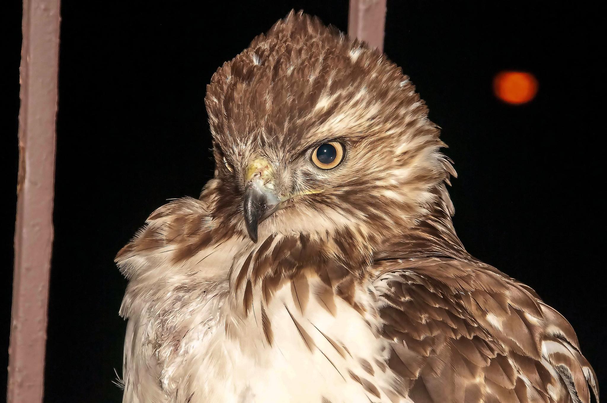 NYC Hawk on my Fire Escape by steven.malecki.52