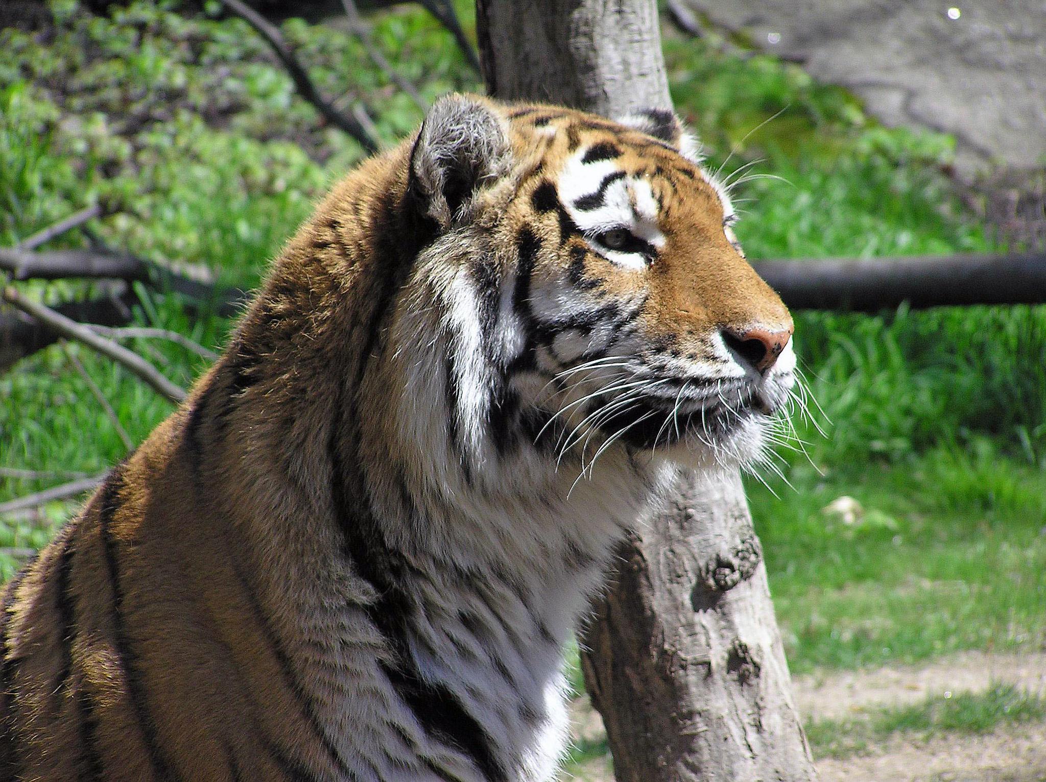 Tiger by steven.malecki.52