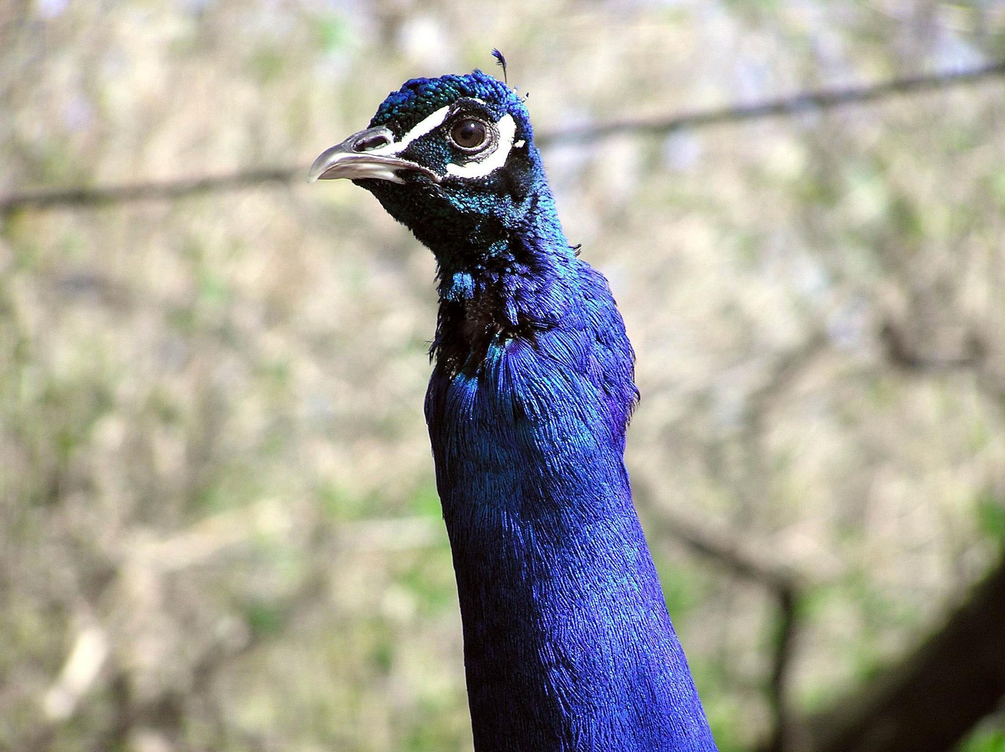 Peacock by steven.malecki.52