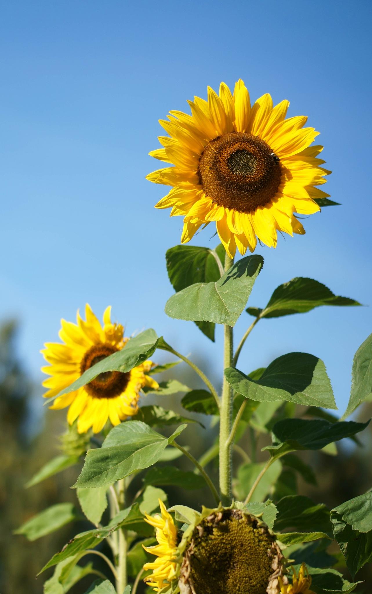 Blommande solrosor. by SaraEkberg