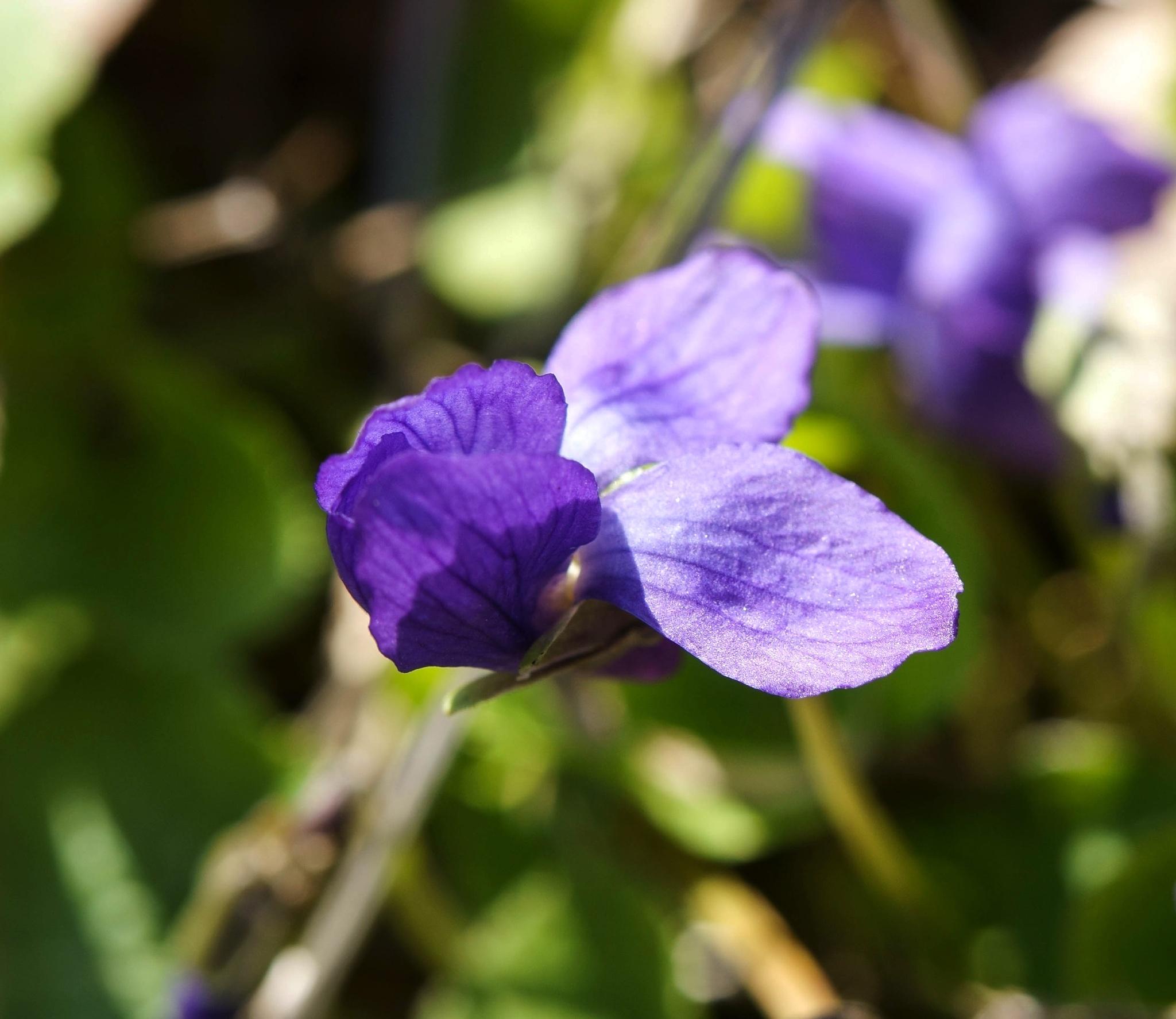 Liten blå viol. by SaraEkberg
