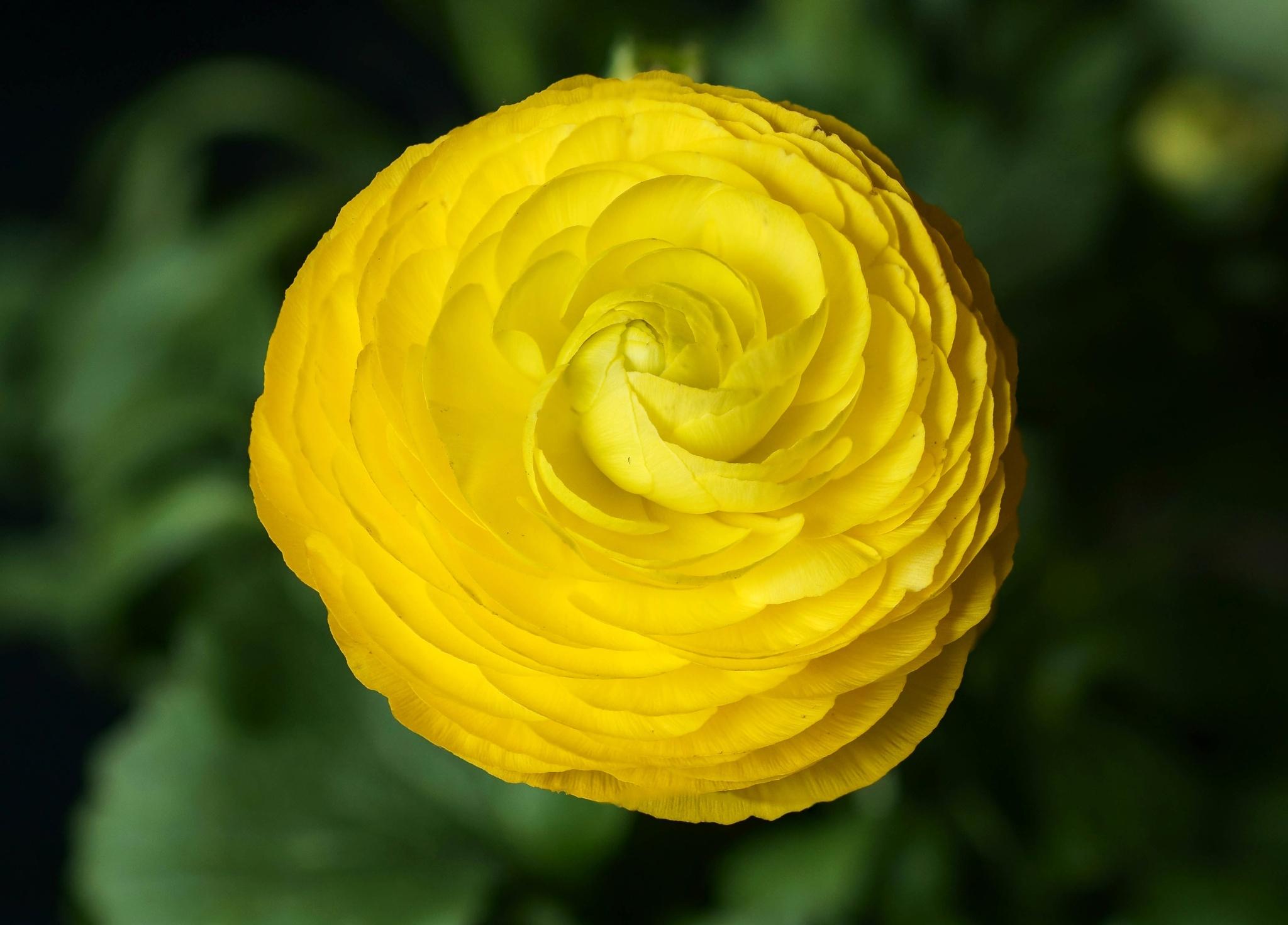 Ranunkel gul som solen, fin och lysande. by SaraEkberg