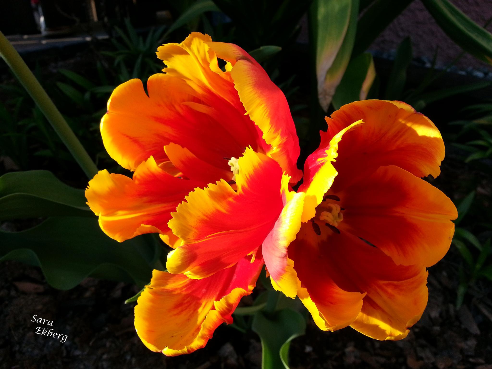 Tulip by SaraEkberg
