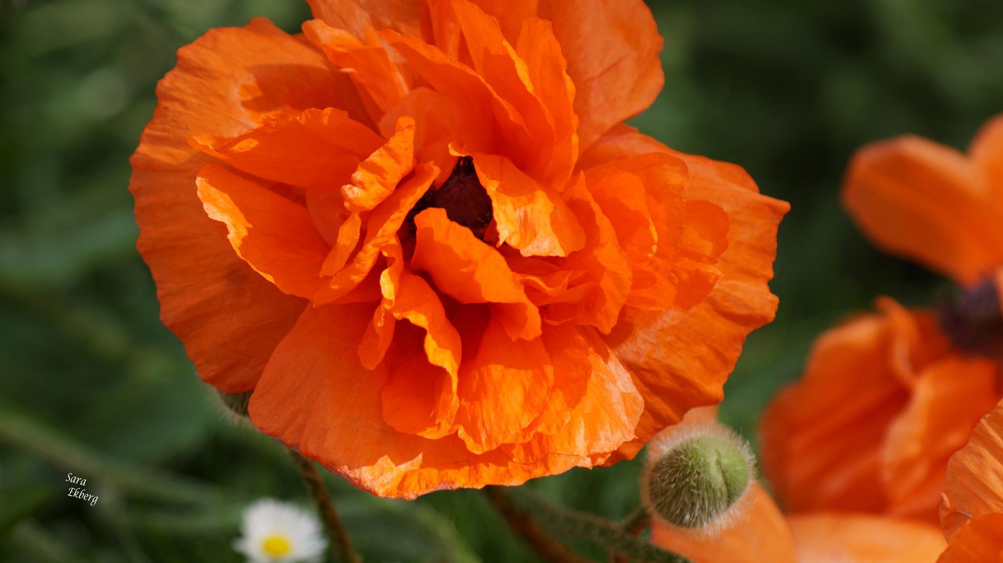 Poppy flower. by SaraEkberg