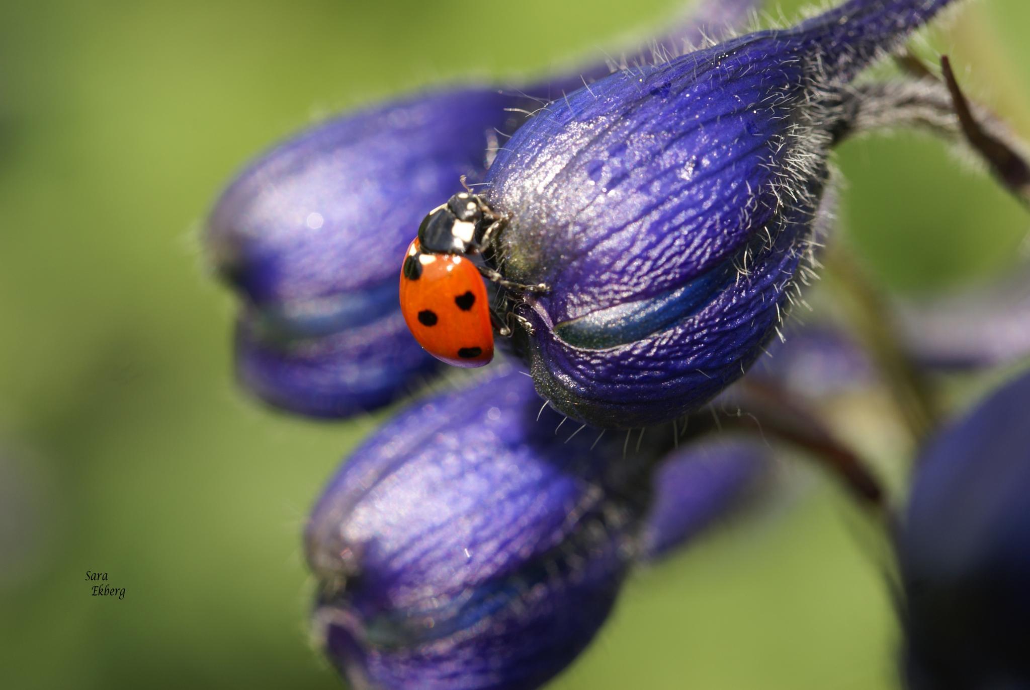 Flower, monkshood (stormhatt) with a ladybird. by SaraEkberg