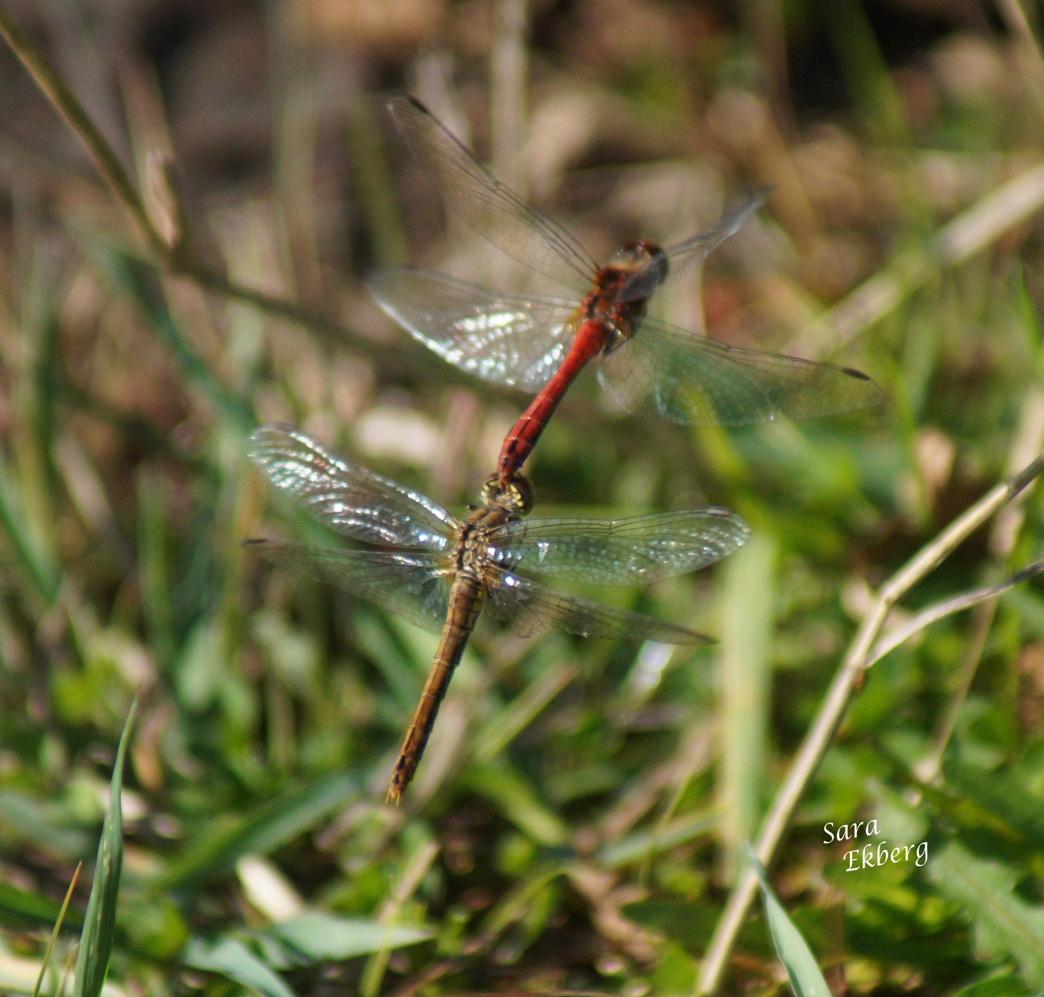 Dragonfly friendship! by SaraEkberg