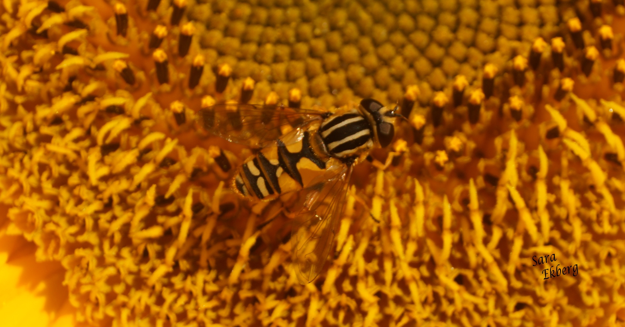 A wasp with great pattern. by SaraEkberg