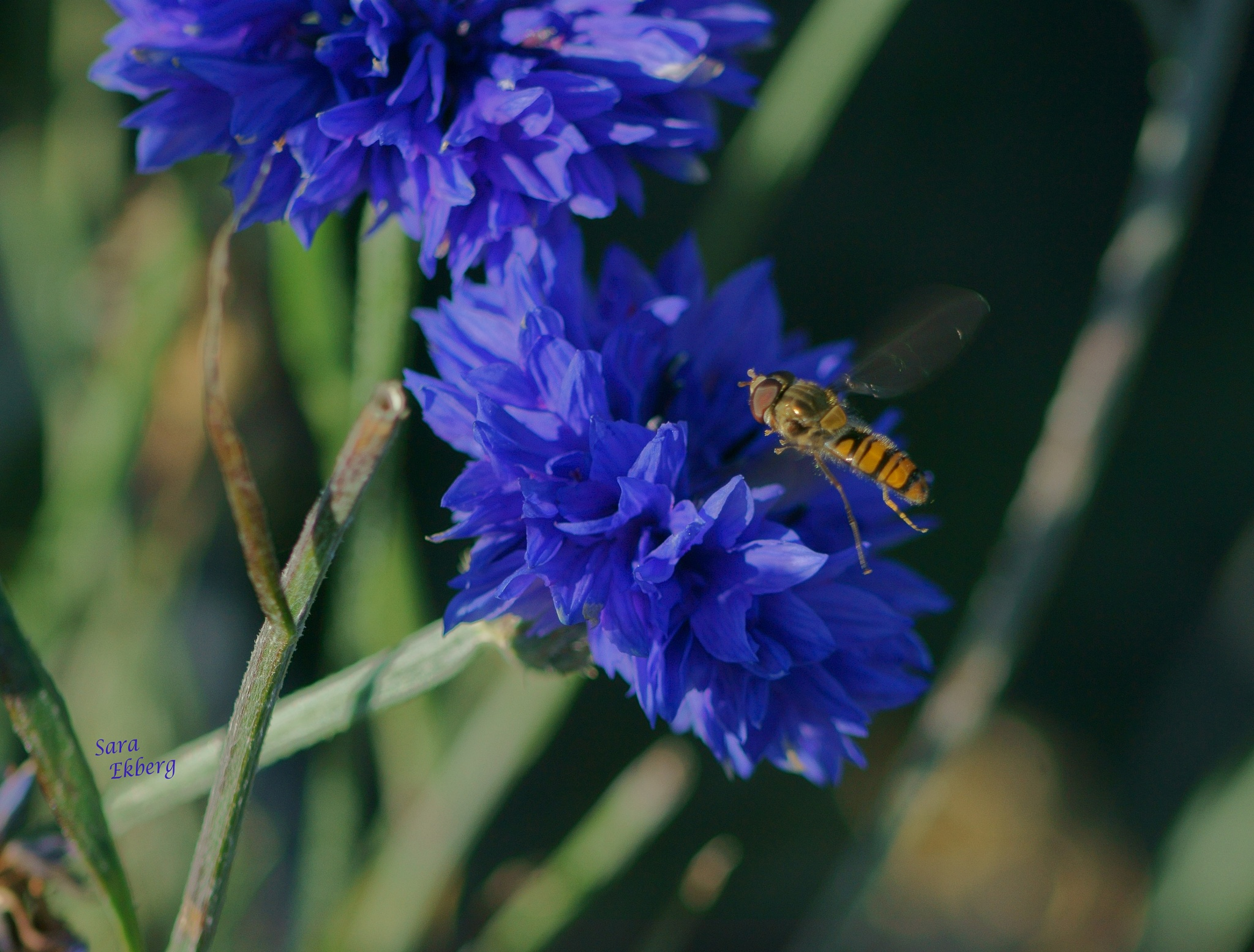 The cornflower with a visitor. by SaraEkberg