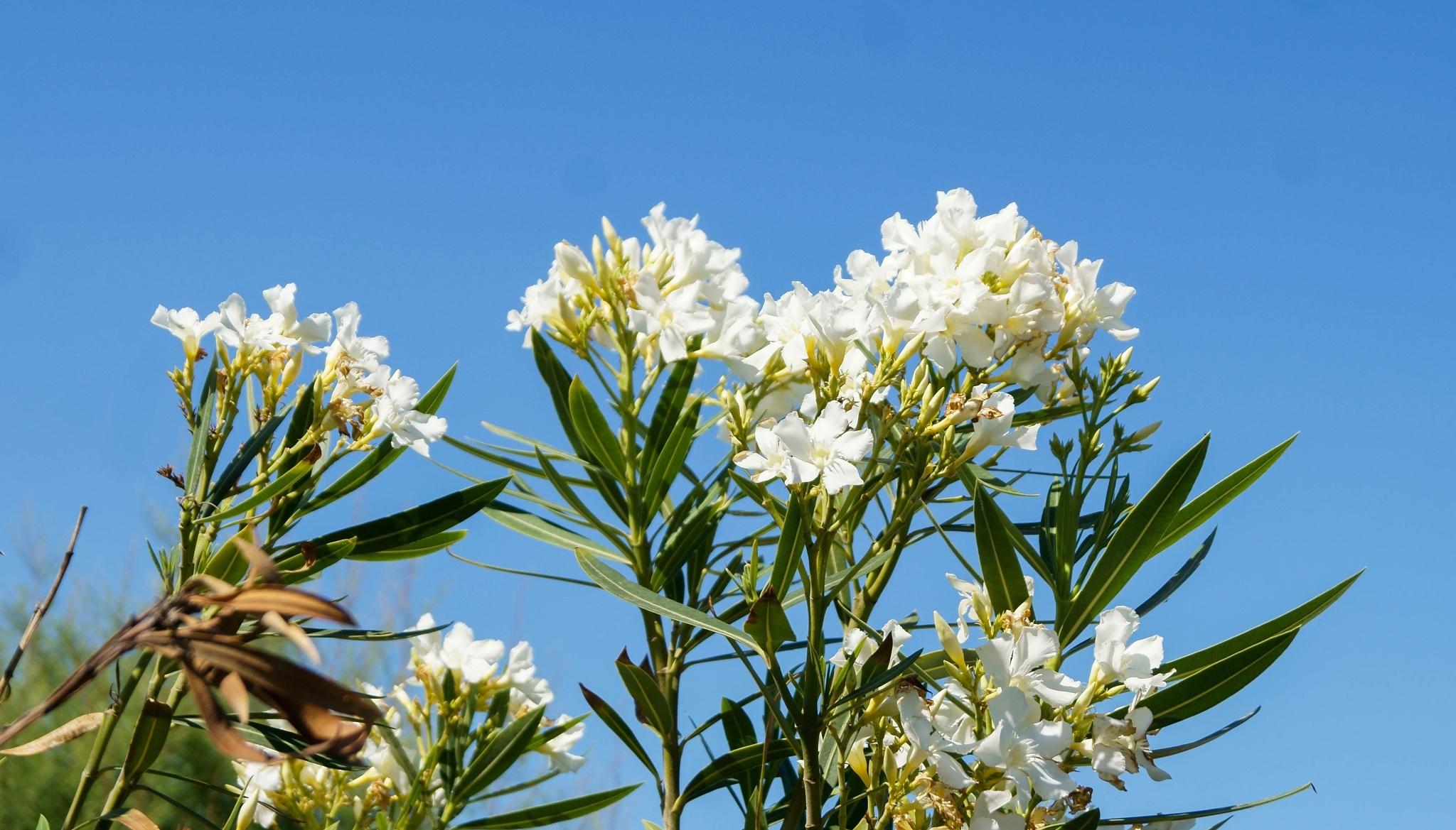 White oliander flower by SaraEkberg