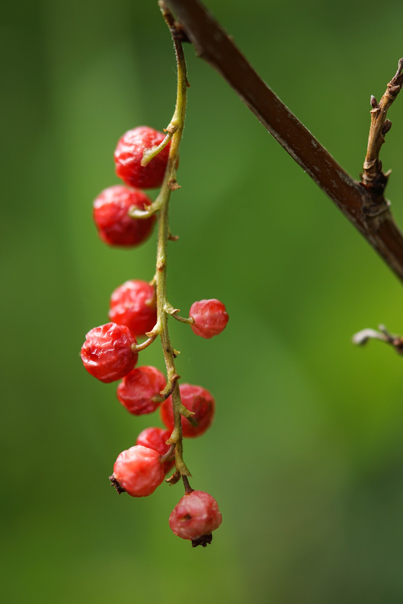 Last year berries, still red and beautiful. by SaraEkberg
