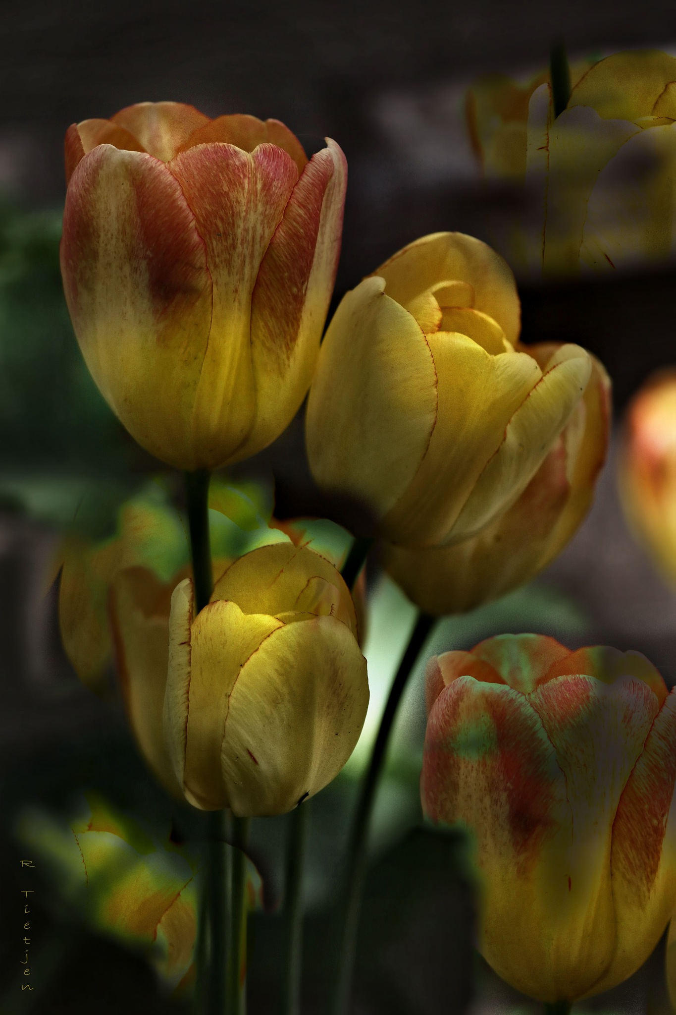 Dirty Tulips #2 by Rodney Tietjen