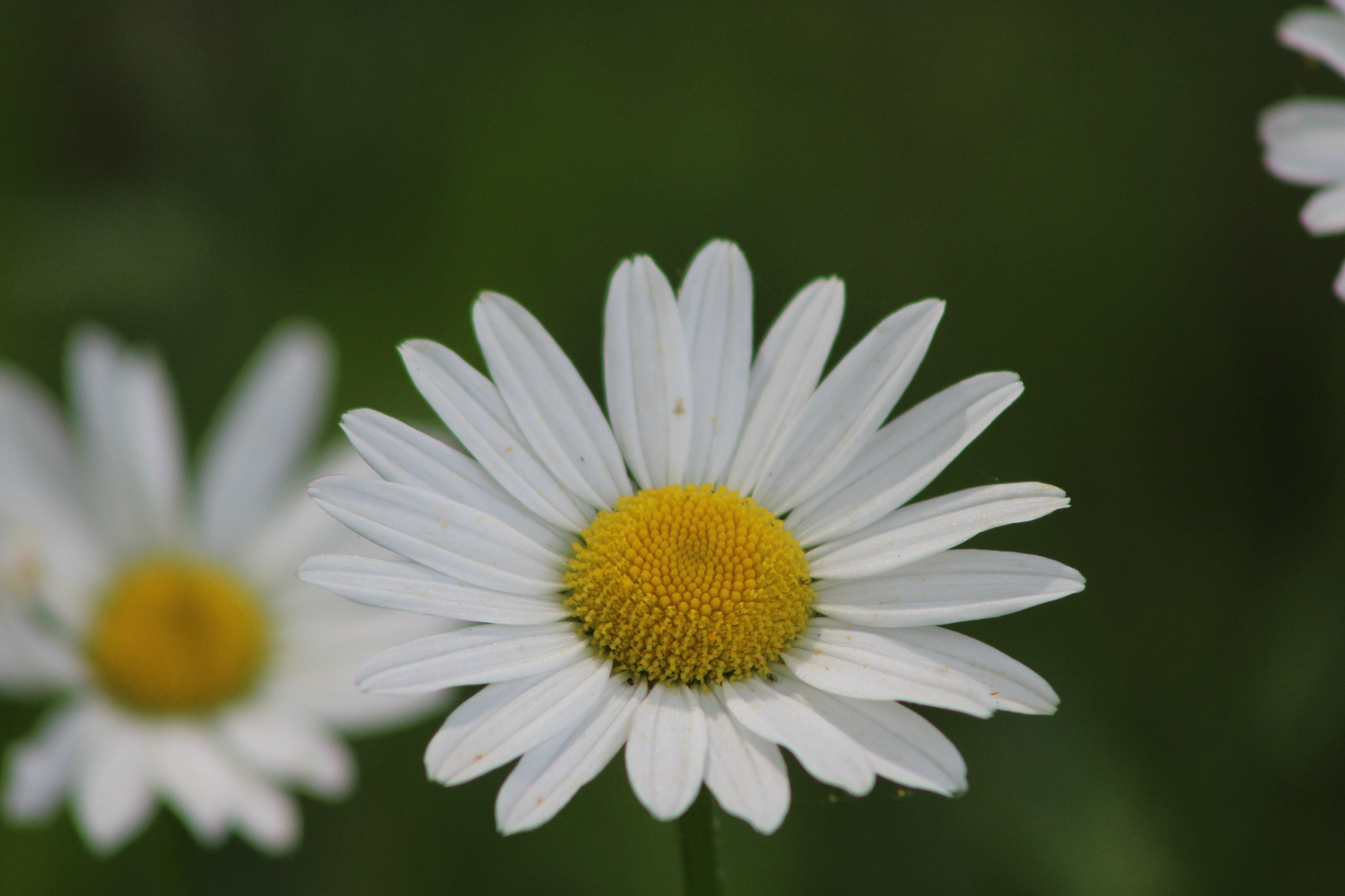 2 Daisy by Chaotic Beauty
