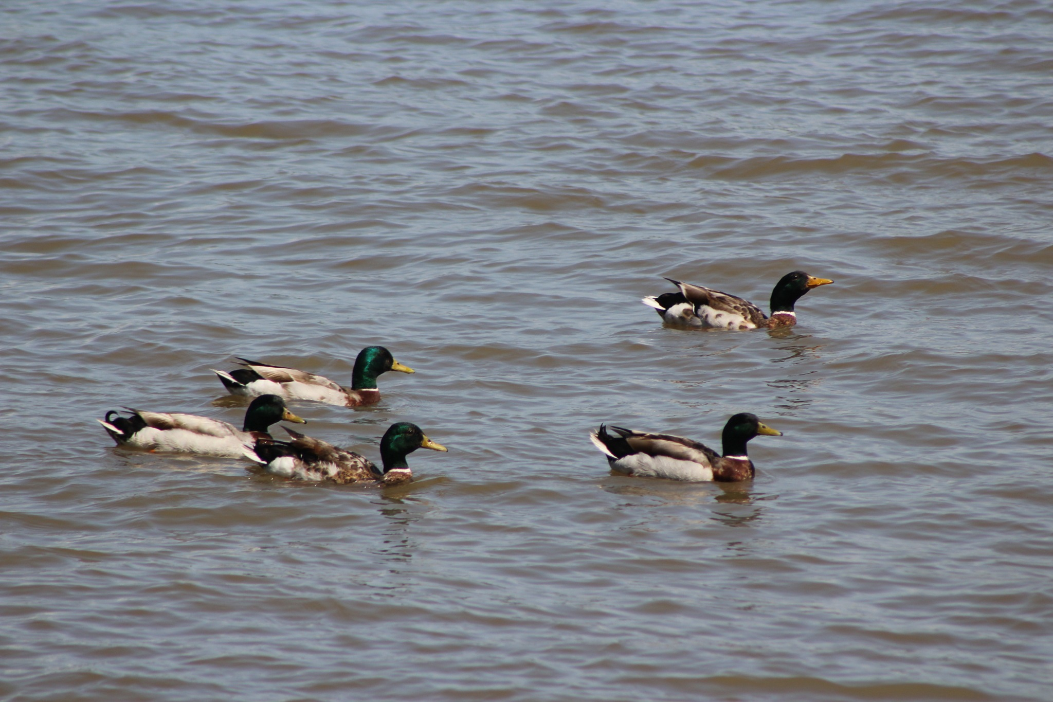 Mallards by Find My Beauty in the Chaos
