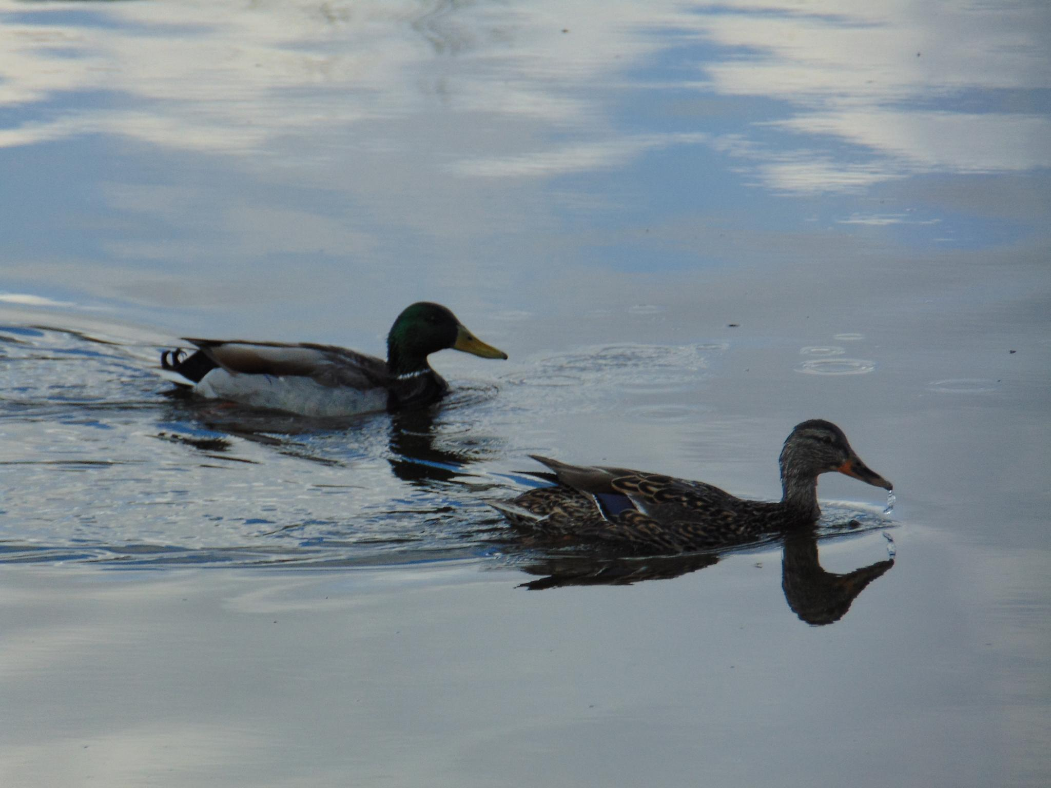 Mallard and a Duck by jackie.smallwood1