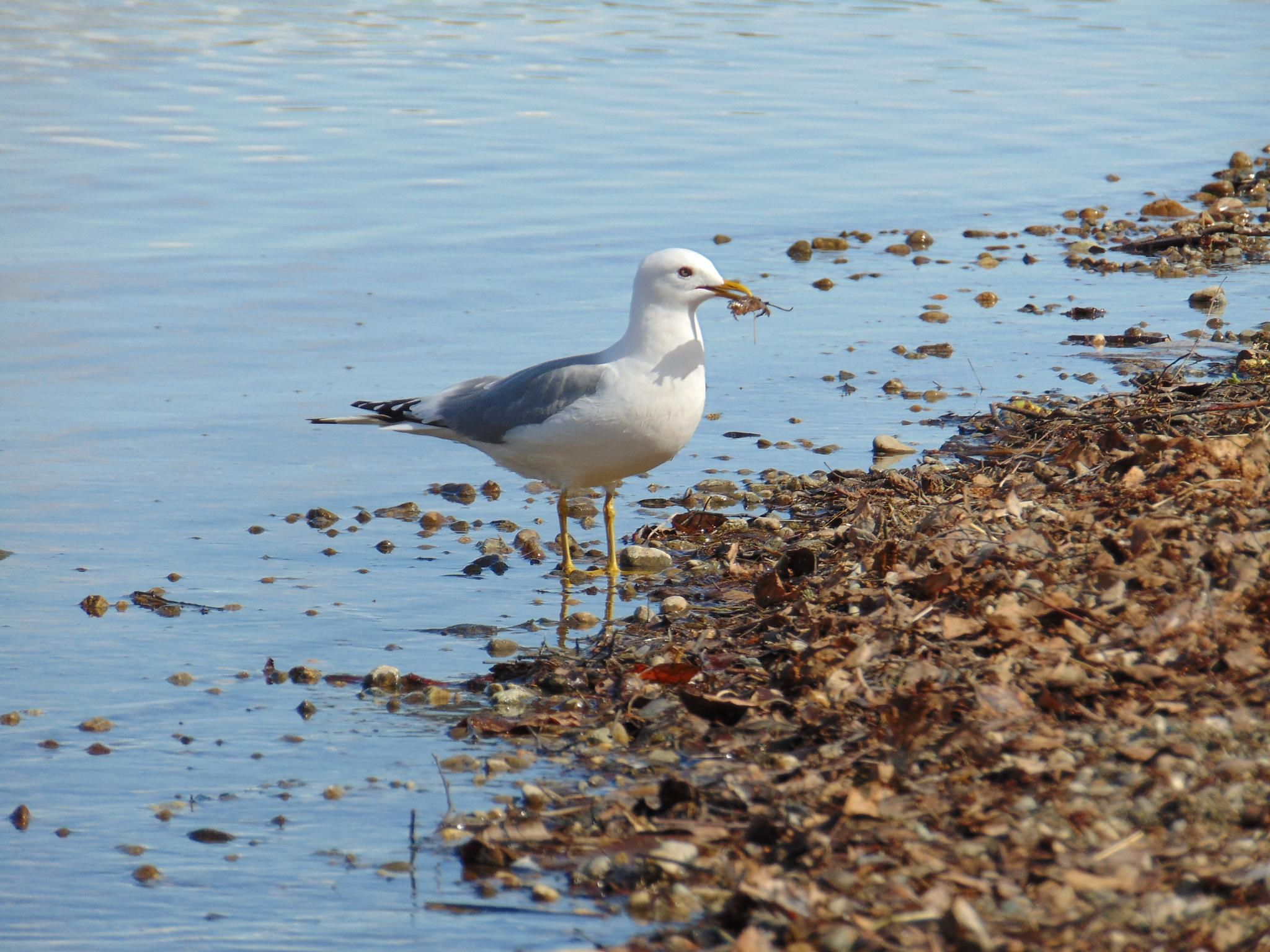 Seagull at Wasilla Lake Alaska by jackie.smallwood1