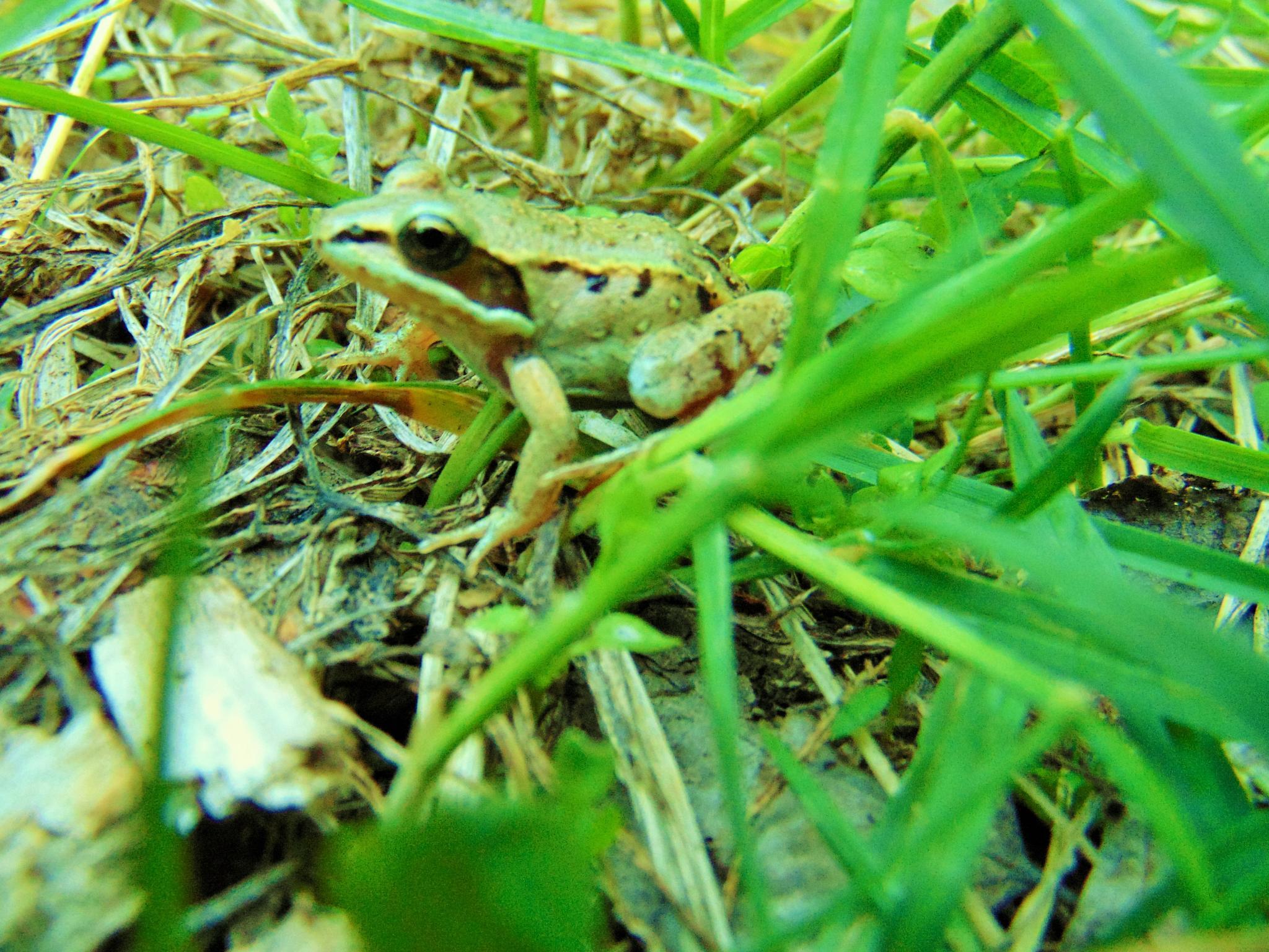 Photo in Animal #frogs amphibians of alaska t