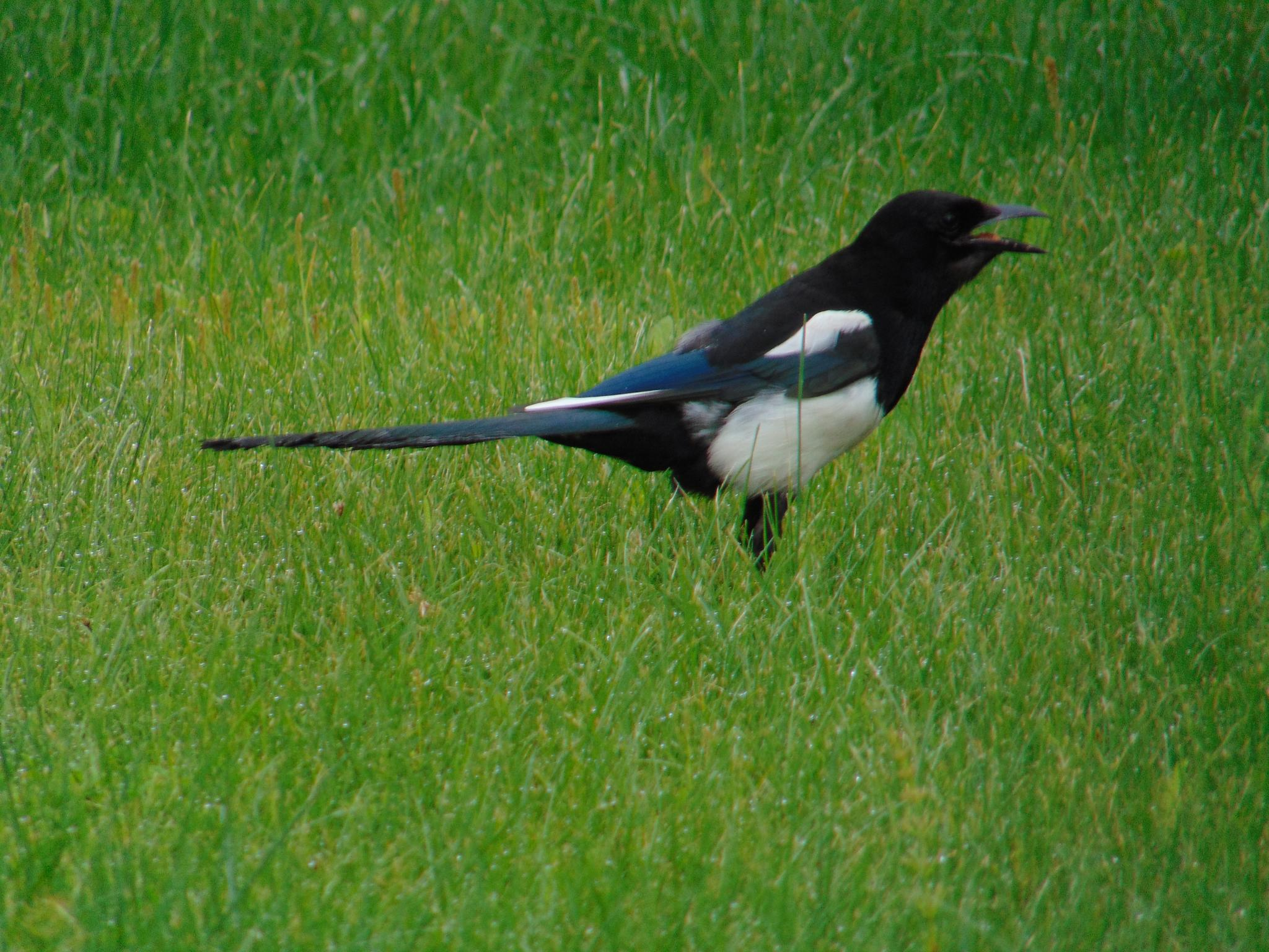 Photo in Animal #magpie #birds od alaska #birds