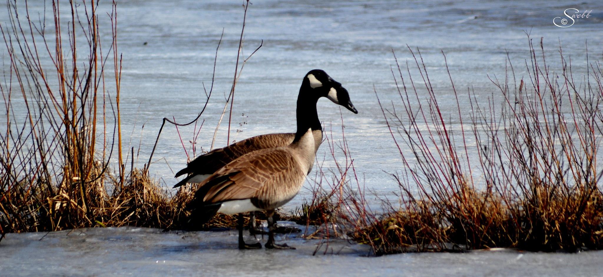 Photo in Random #winter #geese #rura #pond